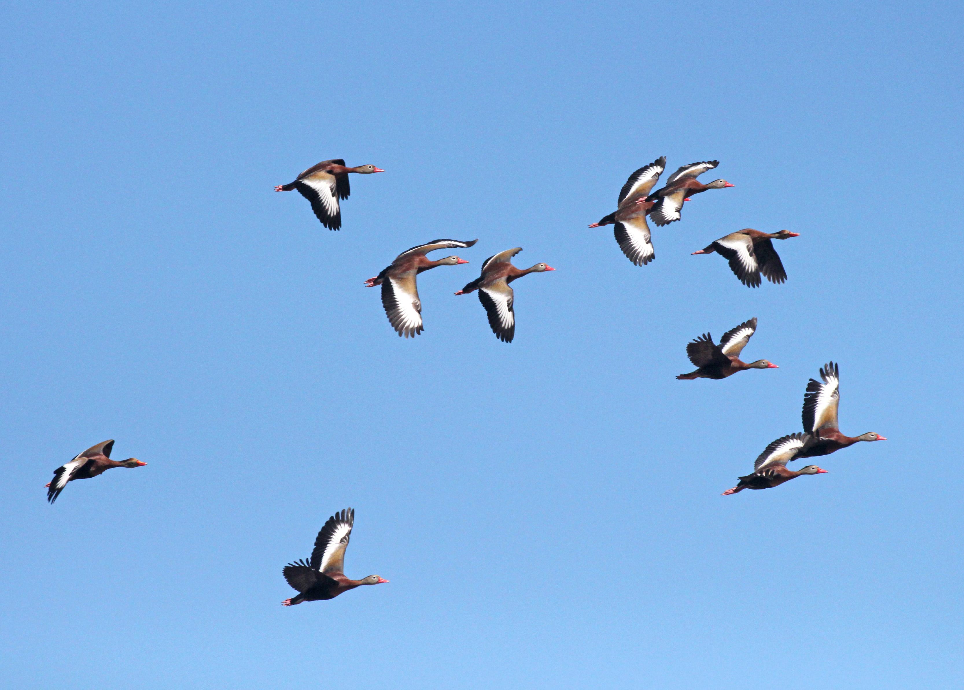 003 - black-bellied whistling-ducks (5-10-2015) las cienegas nca, pima co, az -01 photo