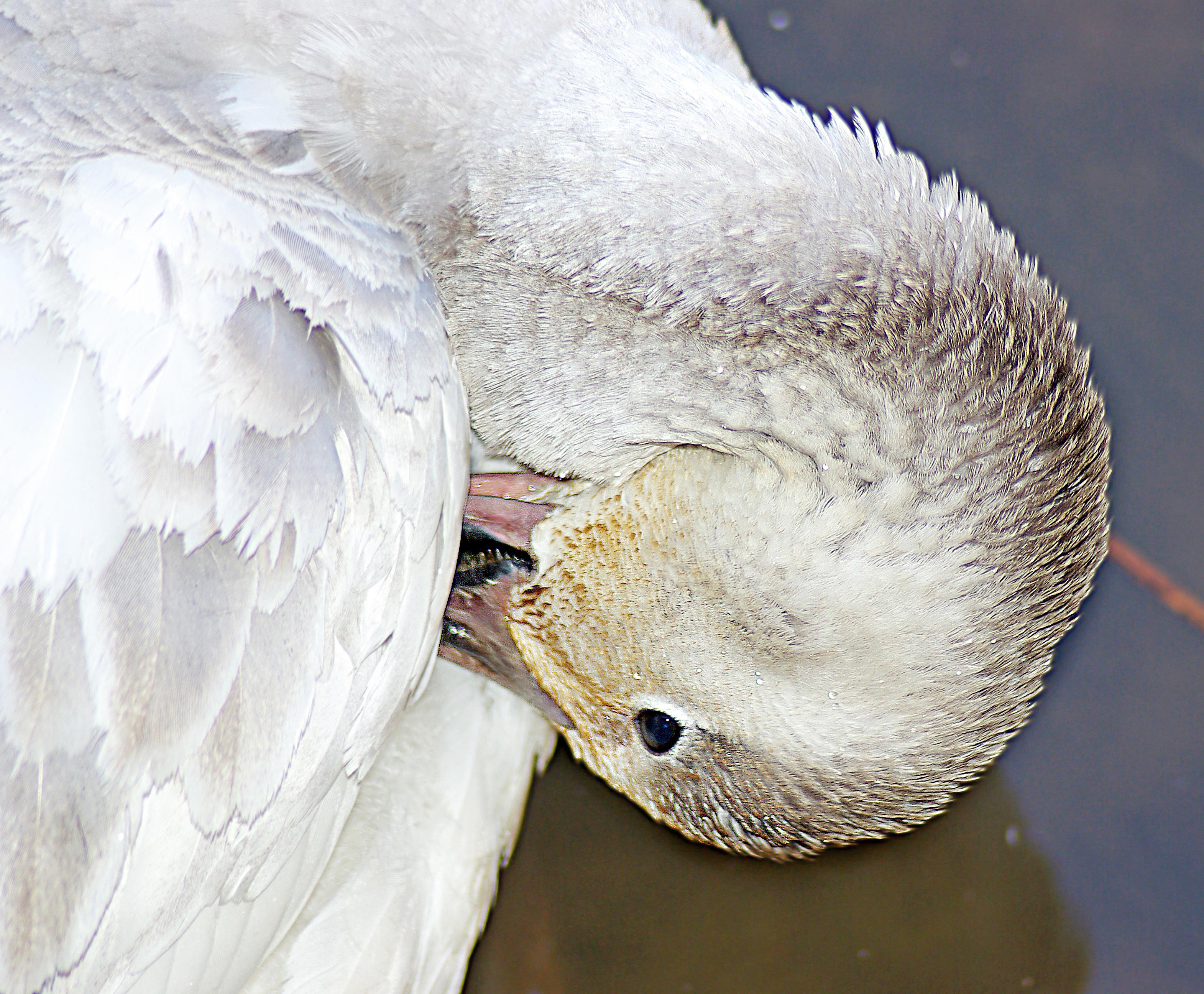 012 - snow goose (1-6-07) cloisters, sloco, ca (3) photo