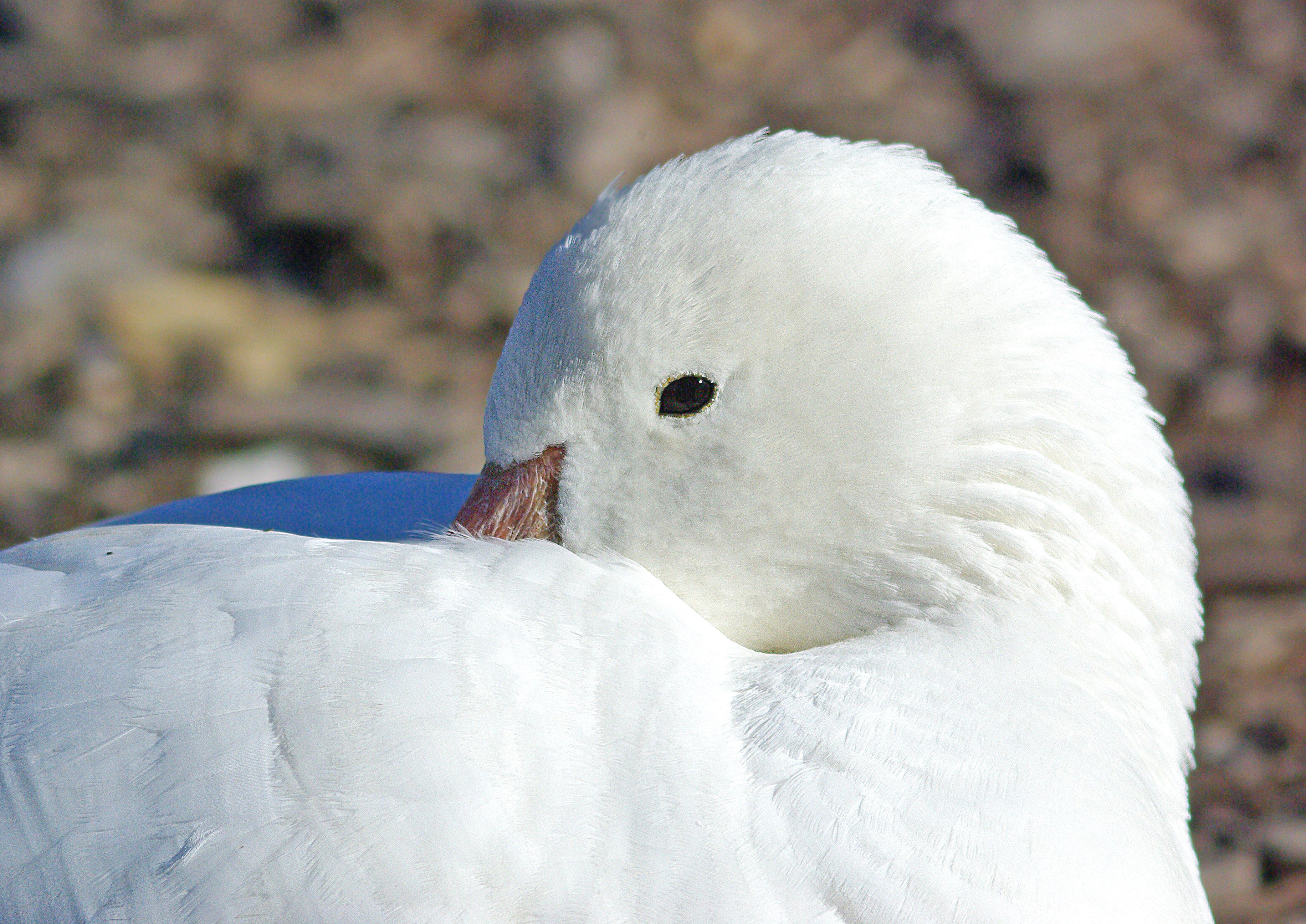 012 x 013 - snow x ross's goose (12-4-07) prob hybrid, laguna, sloco, ca (3) photo