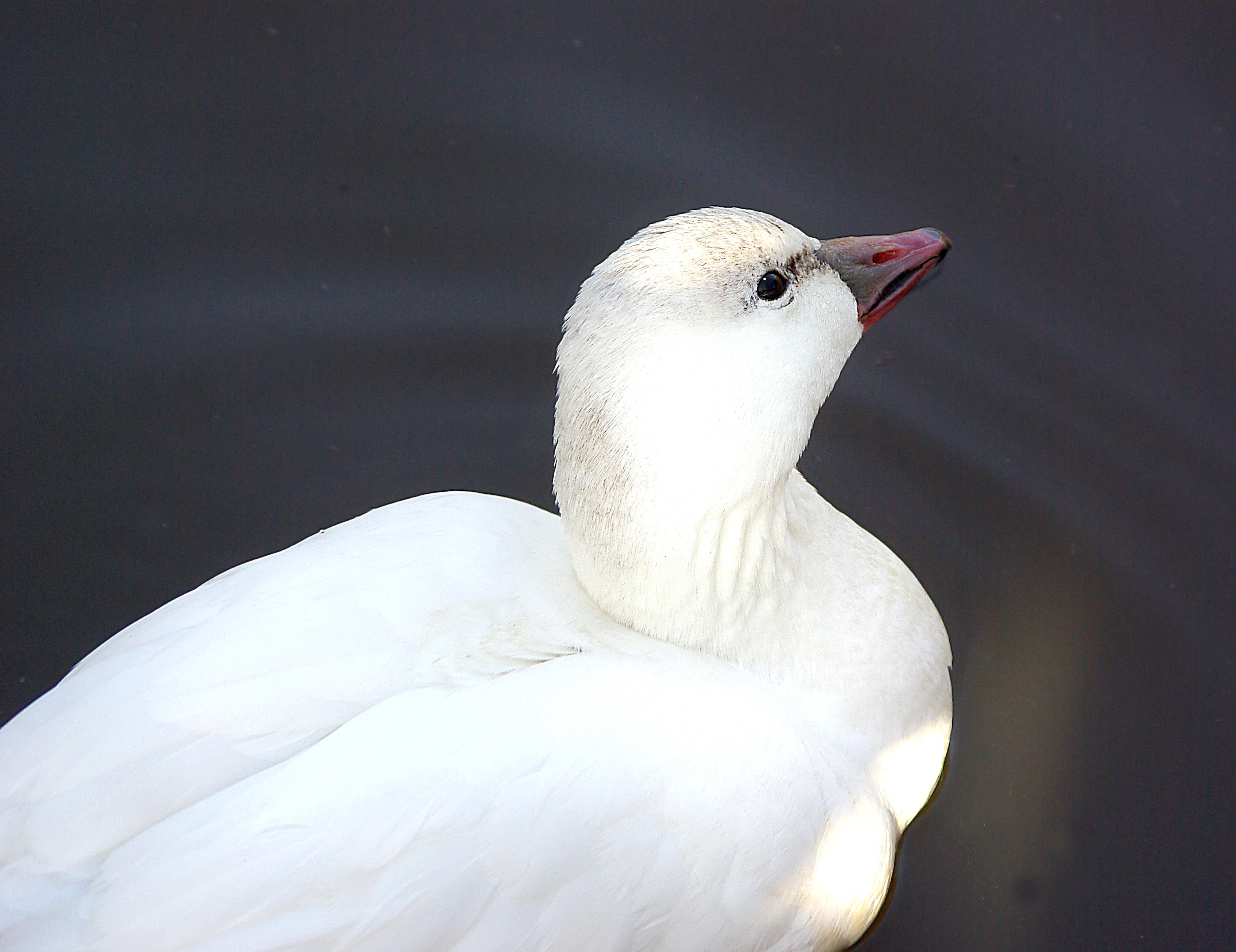 013 - ross's goose (1-6-07) laguna lake, sloco, ca (4) photo