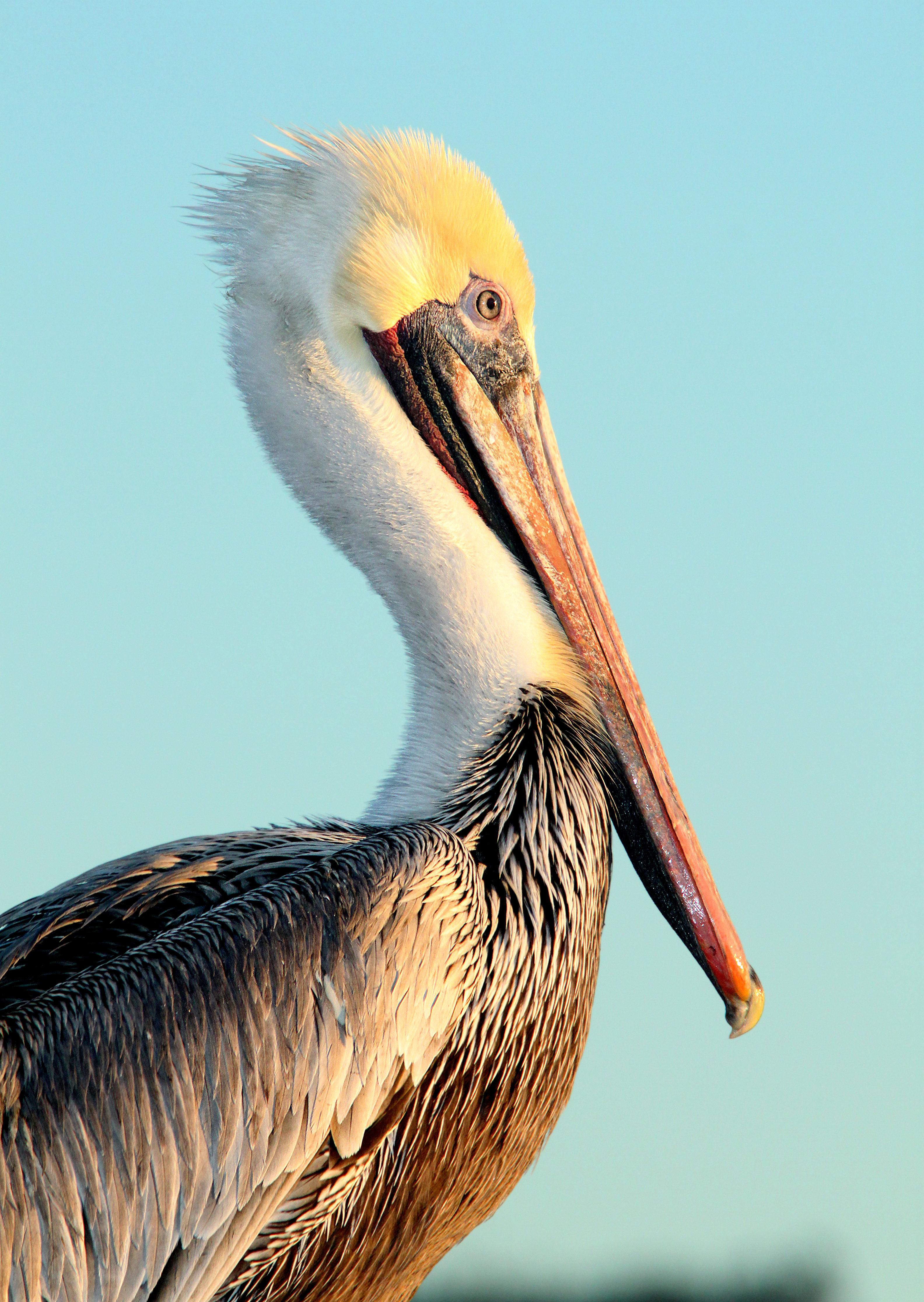 176 - BROWN PELICAN (12-13-09) morro bay, slo co, ca (3), Animal, Aquatic bird, Bird, Outdoor, HQ Photo