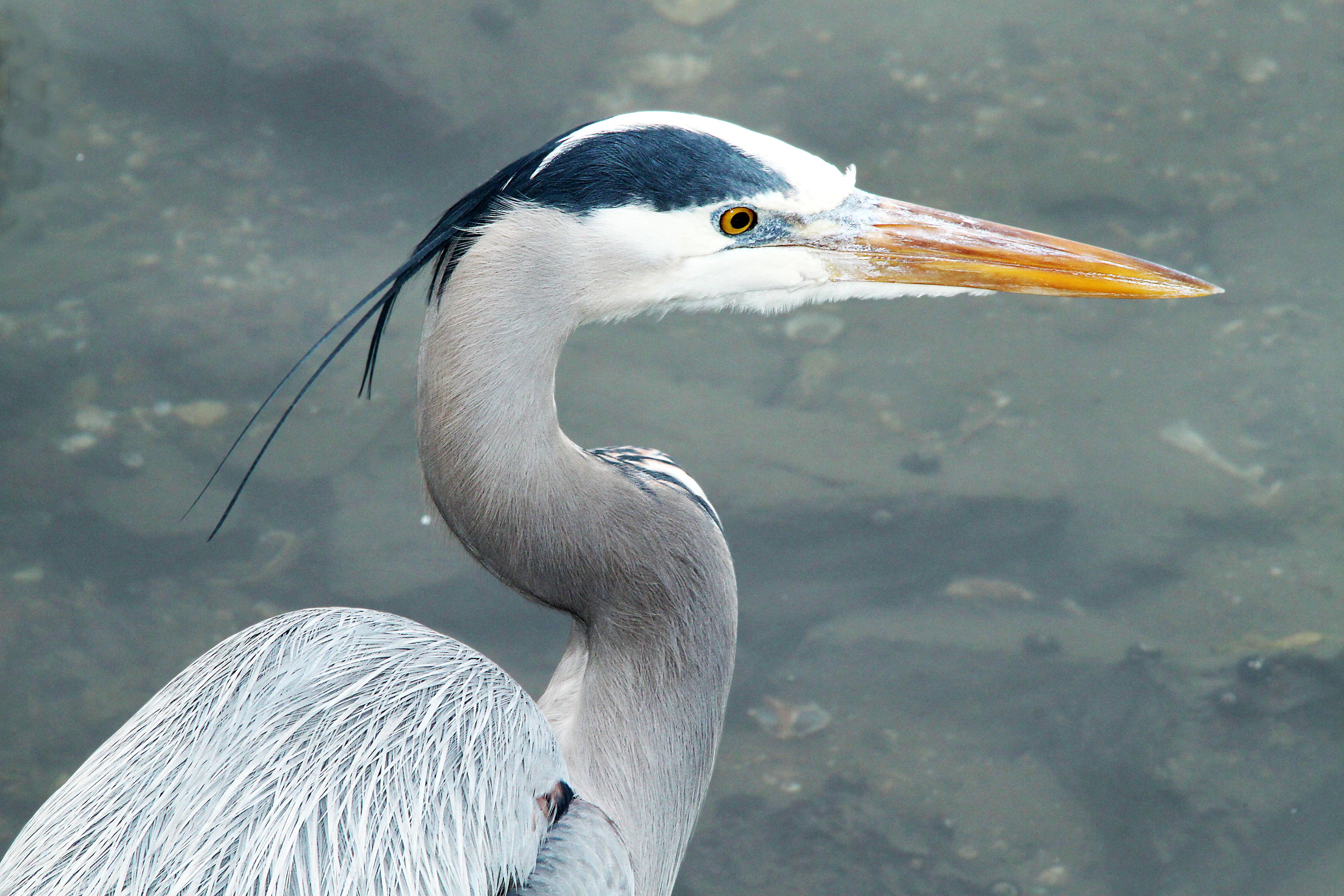 181 - great blue heron (1-9-10) morro bay, ca photo