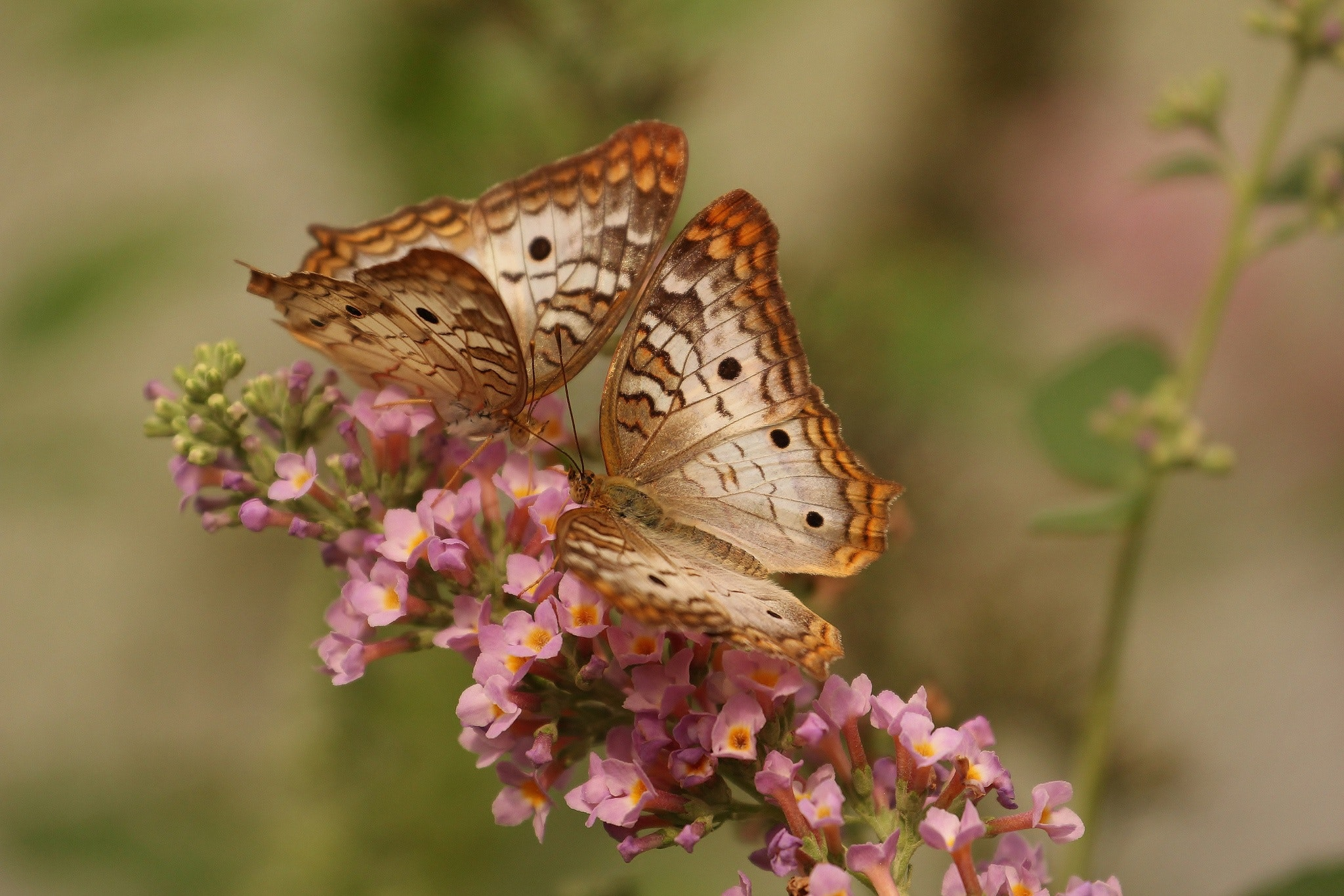 Free Photo 2 Brown And White Butterflies On Pink Flowers Insects