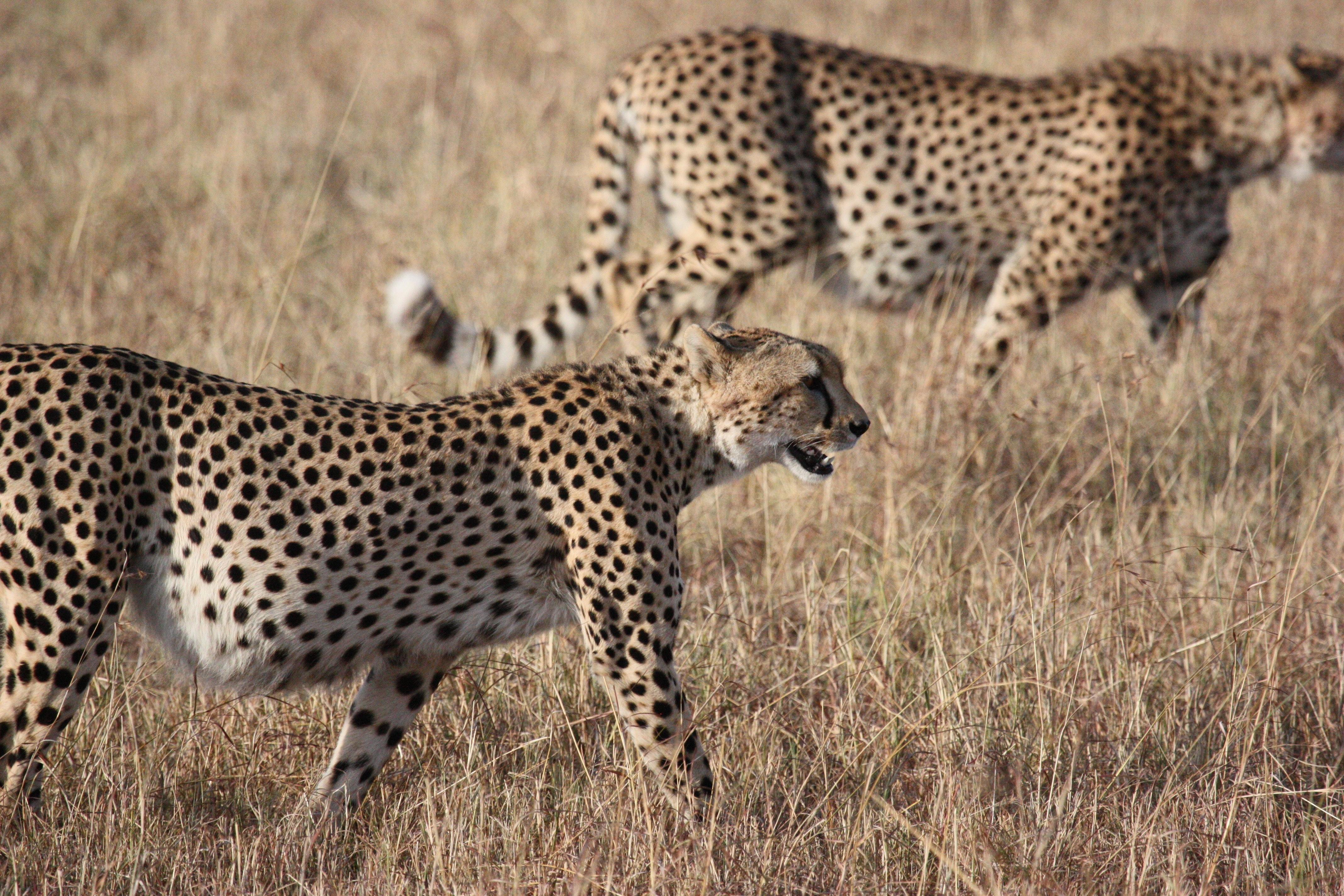 2 cheetah on the brown grass lawn photo