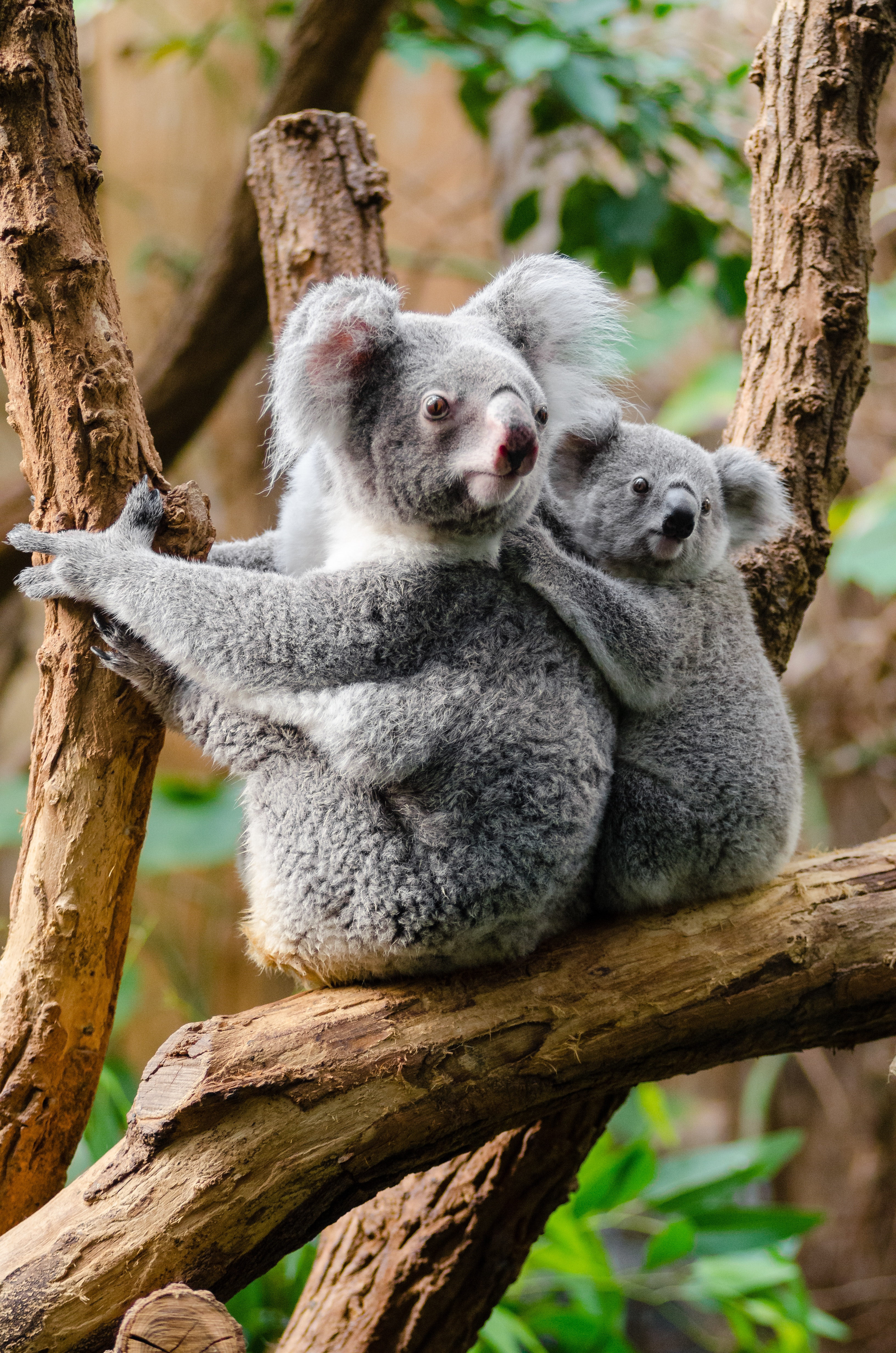 2 Kuala Bears on Brown Wood Tree Branch, Tree, Wildlife, Koalas, Cute, HQ Photo