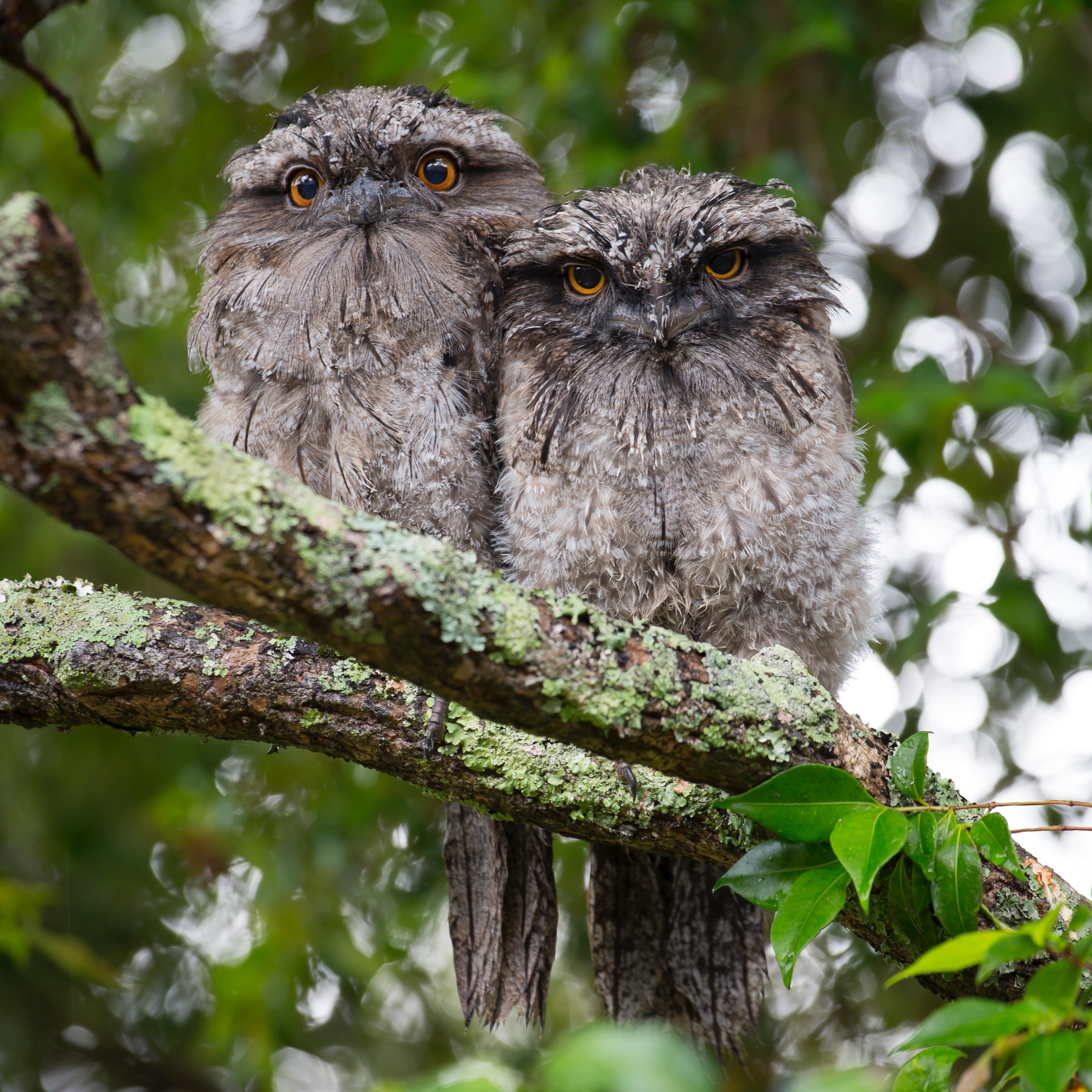 2 owls on tree branch during daytime photo