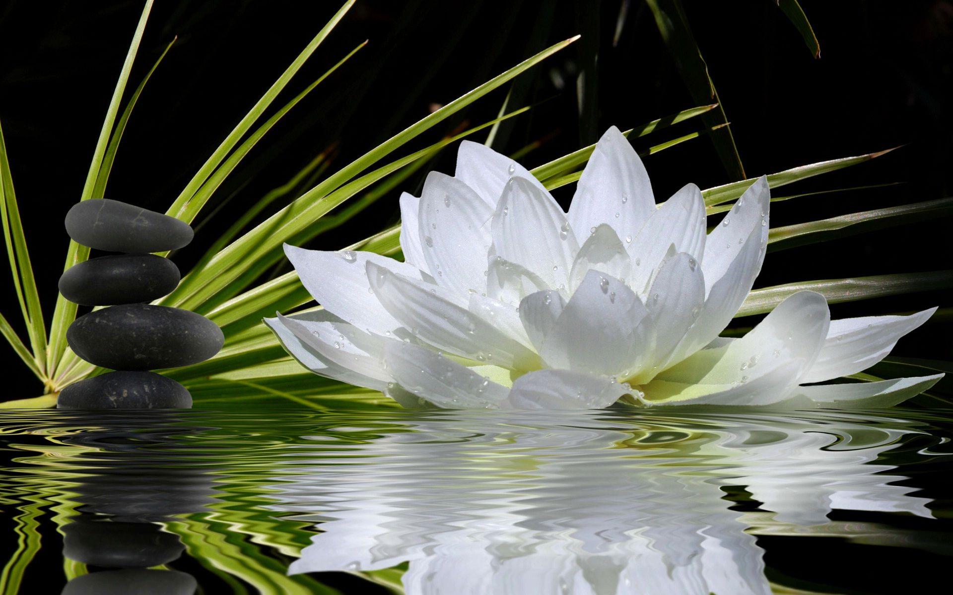 Free photo 2 white lotus flowers nature plants pond free 2 white lotus flowers mightylinksfo