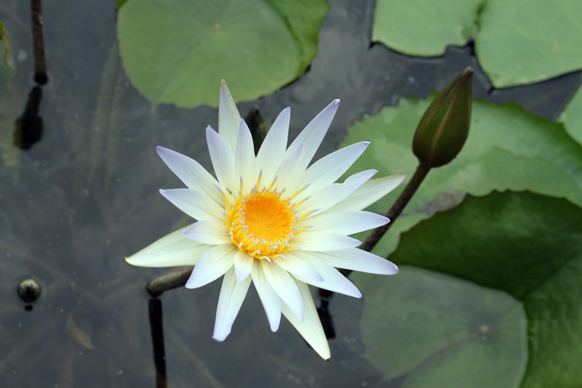 Free Photo 2 White Lotus Flowers Nature Plants Pond Free