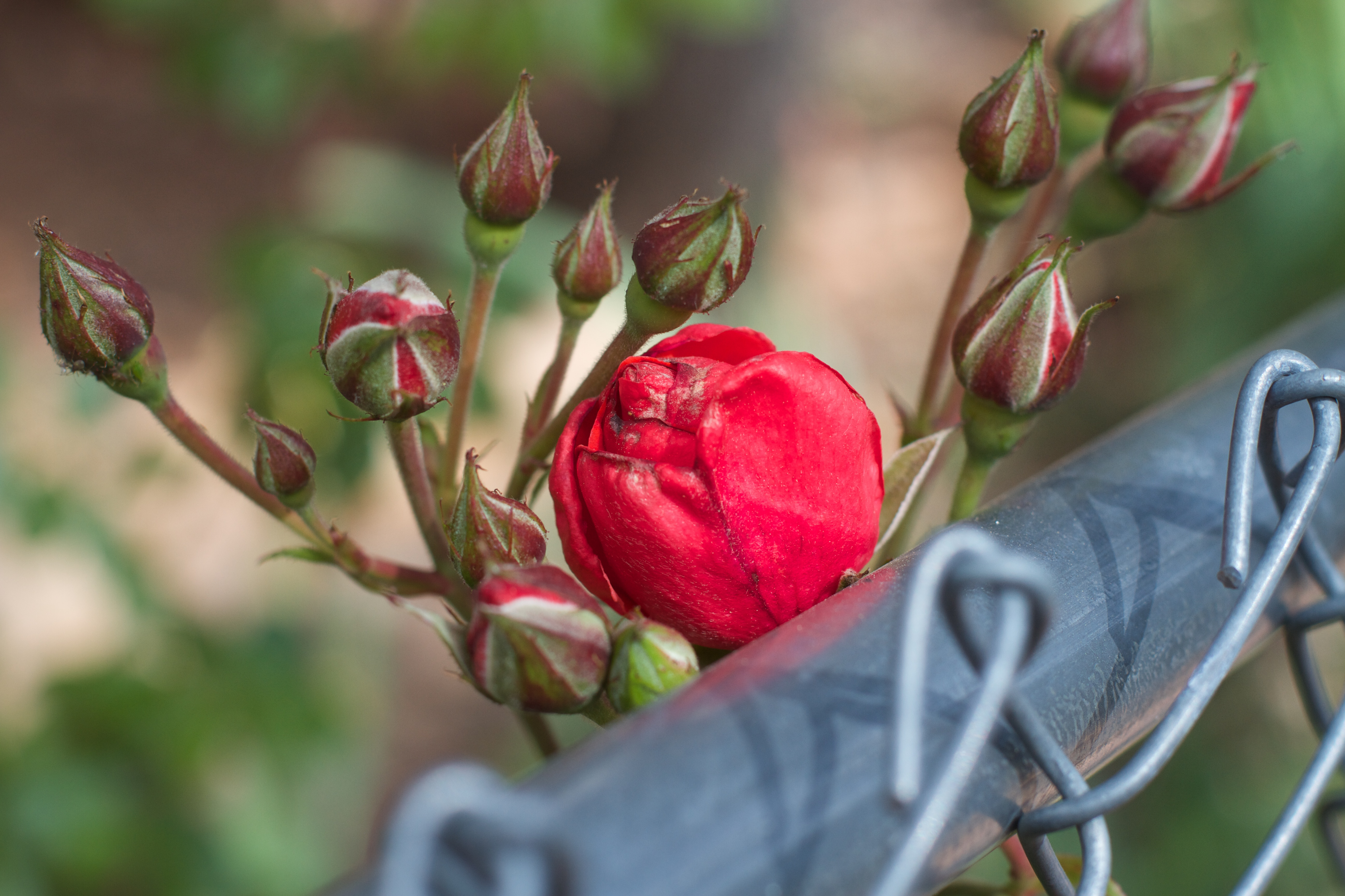 2015/365/144 I'm On the Fence, Too, 2015365, Fence, Flower, Outdoor, HQ Photo