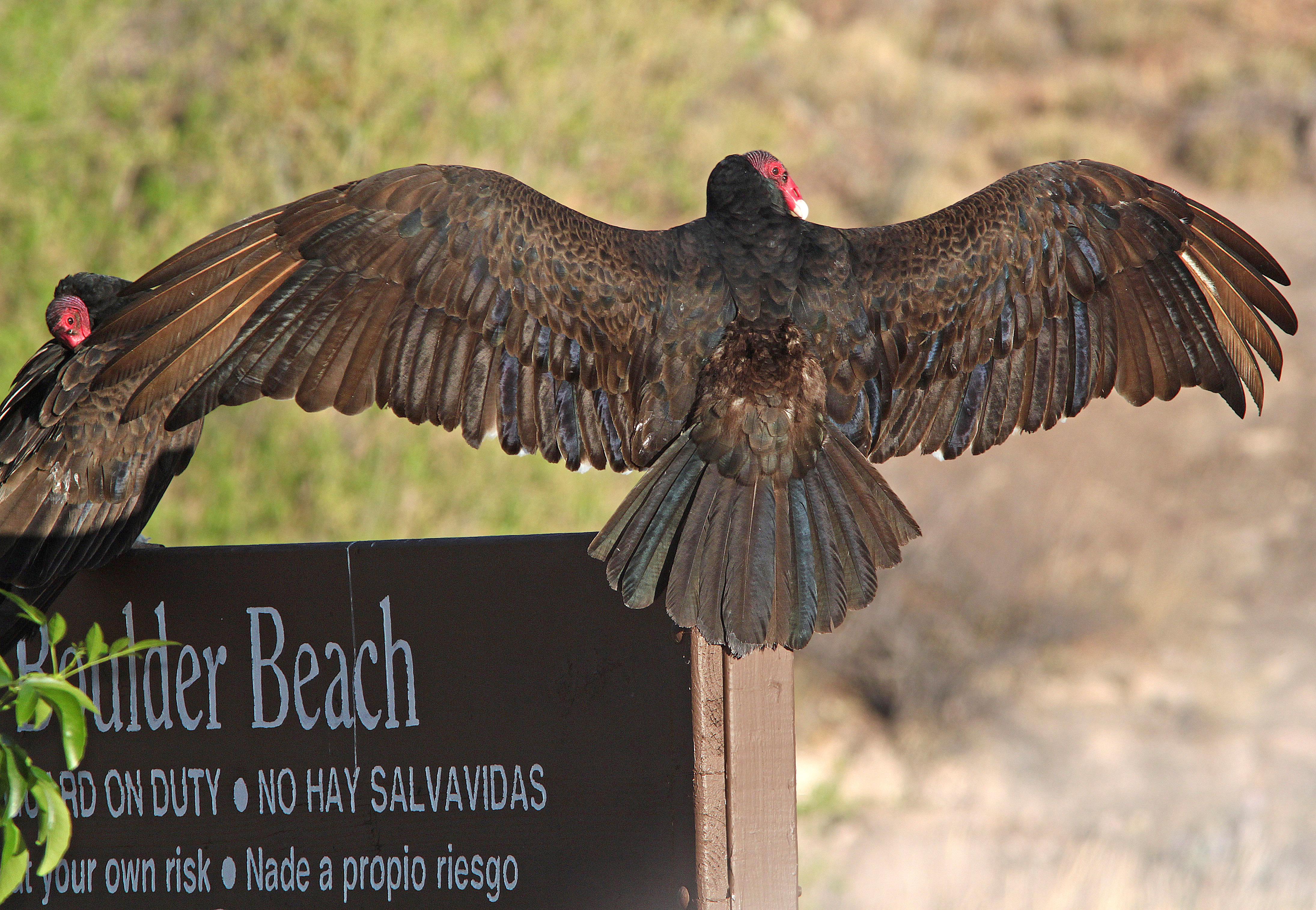 203 - turkey vulture (4-6-11) patagonia lake state park, scc, az (3) photo