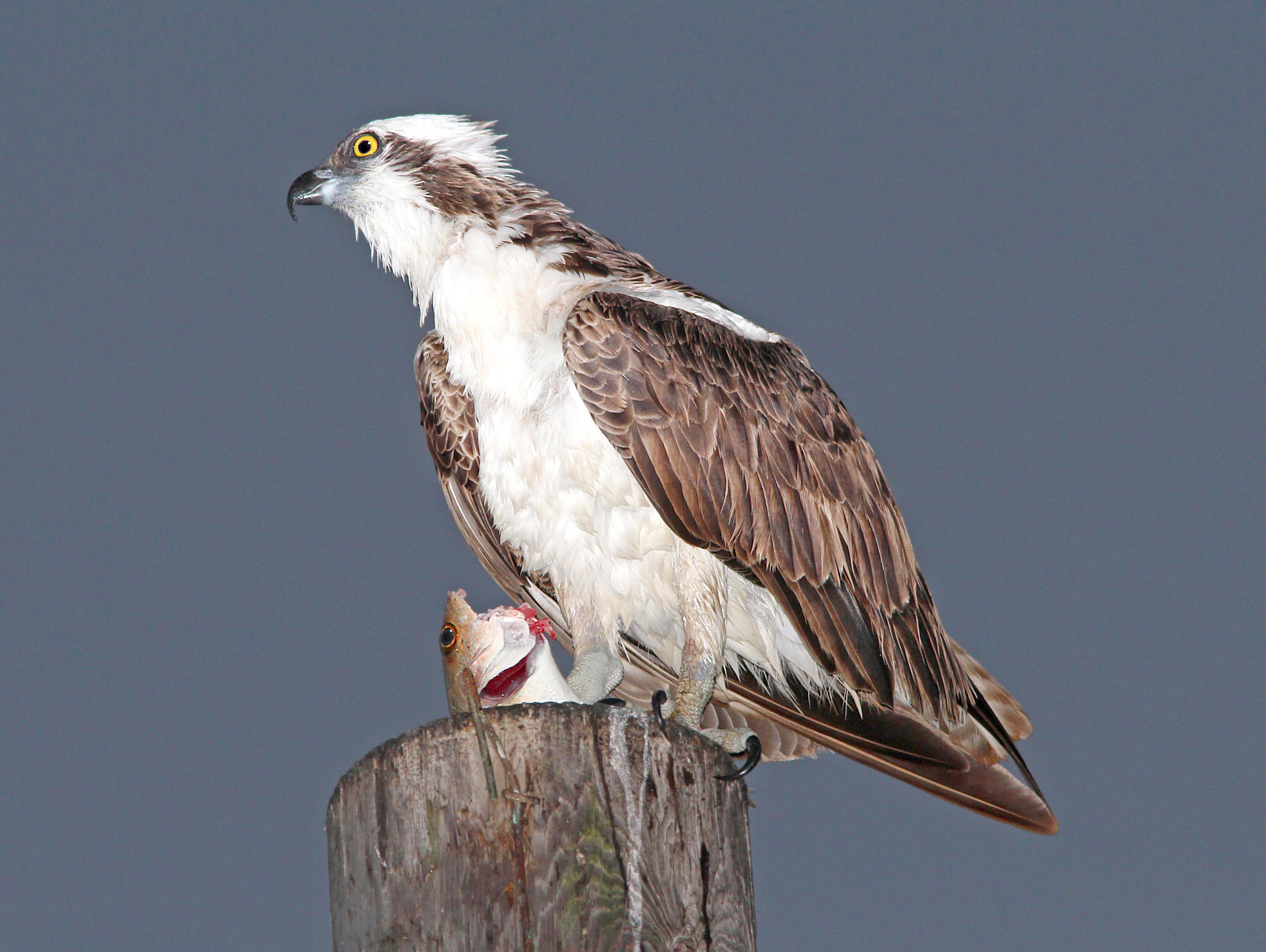 205 - osprey (3-8-13) key west, monroe co, fl (1) photo