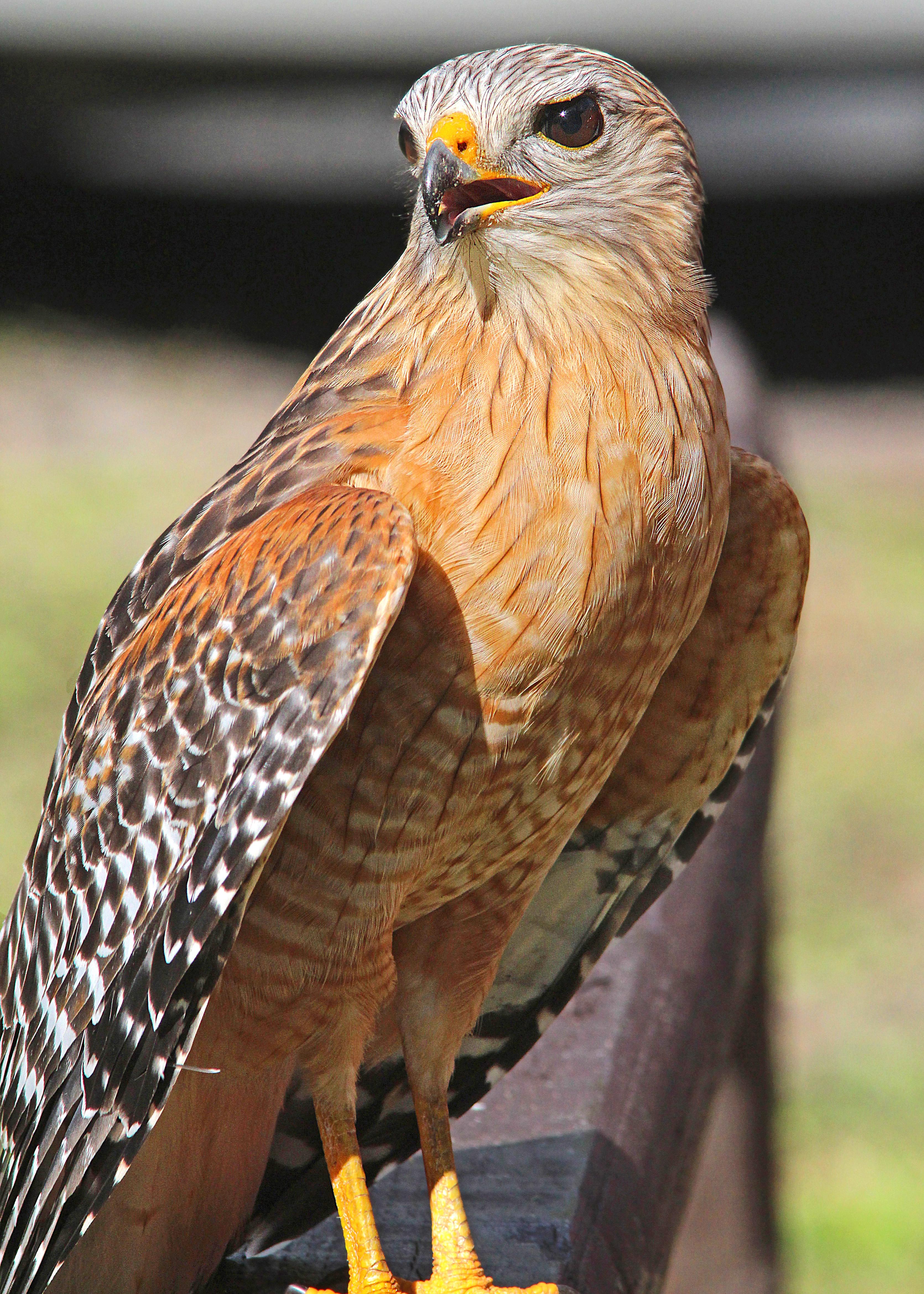 223 - red-shouldered hawk (2-22-13) highlands hammock state park, okeechobee co, fl (6) photo