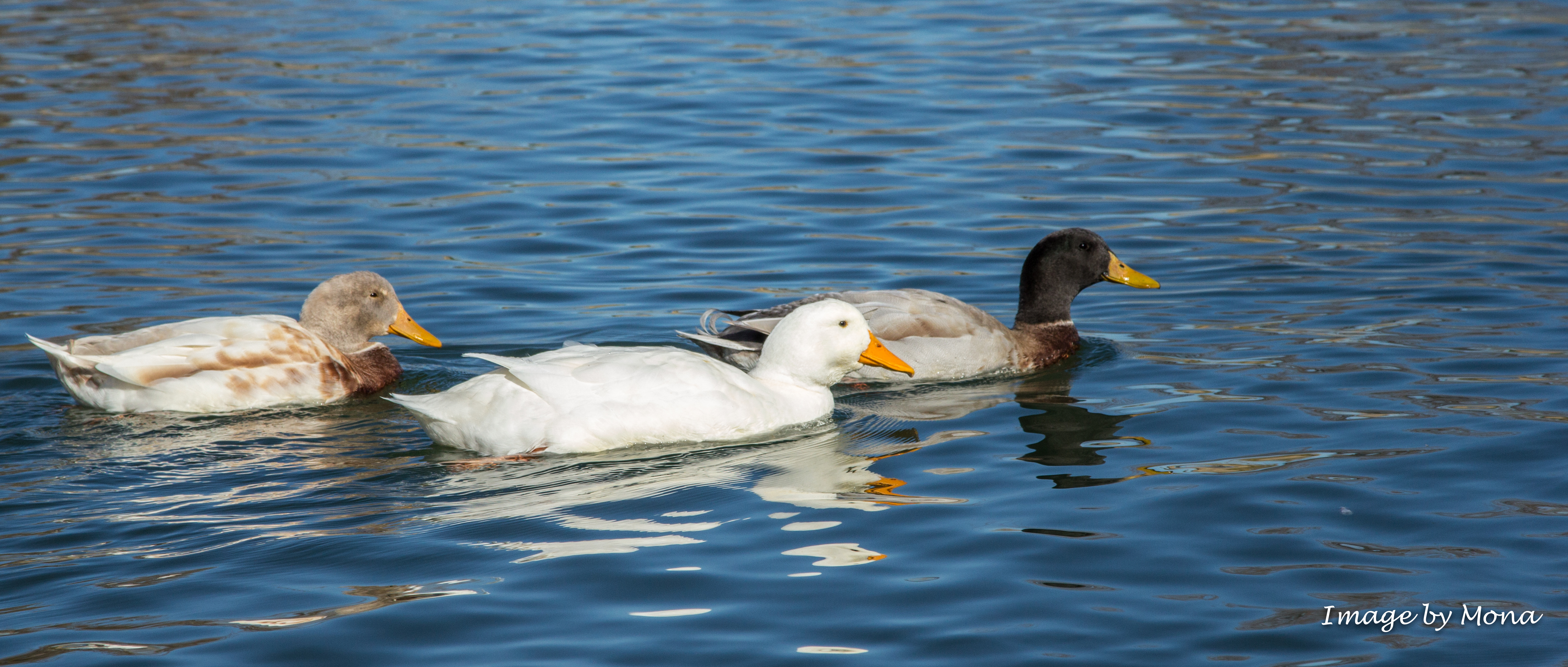 3 ducks photo