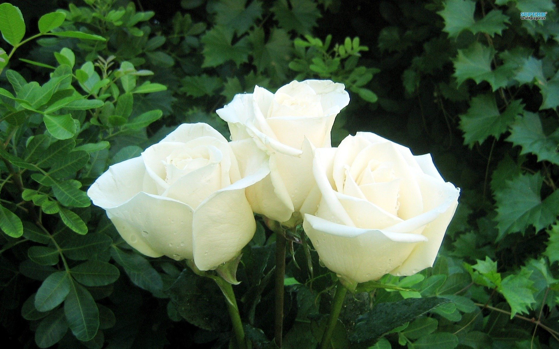 3 White Roses - WallDevil