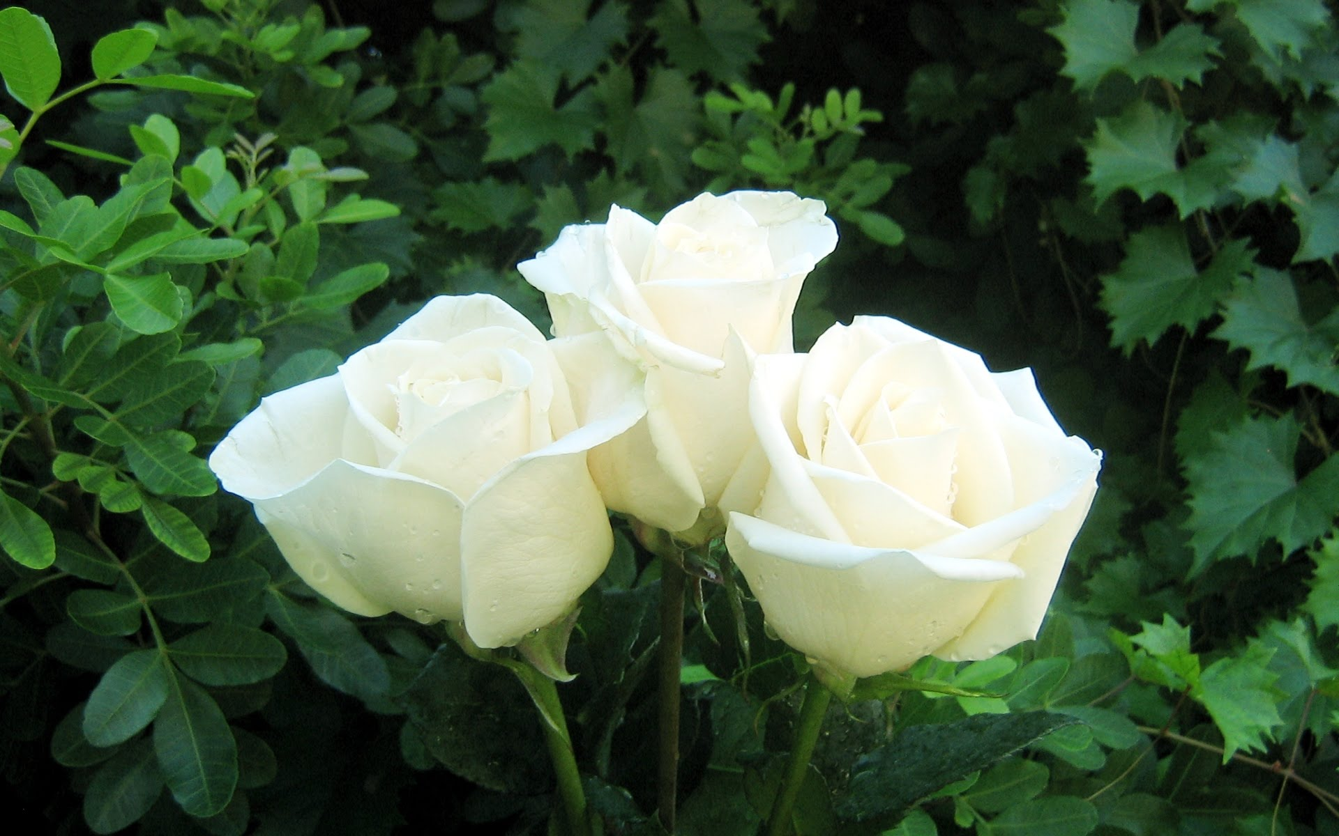 Meaning Of A White Rose Flowers Images - Flower Decoration Ideas