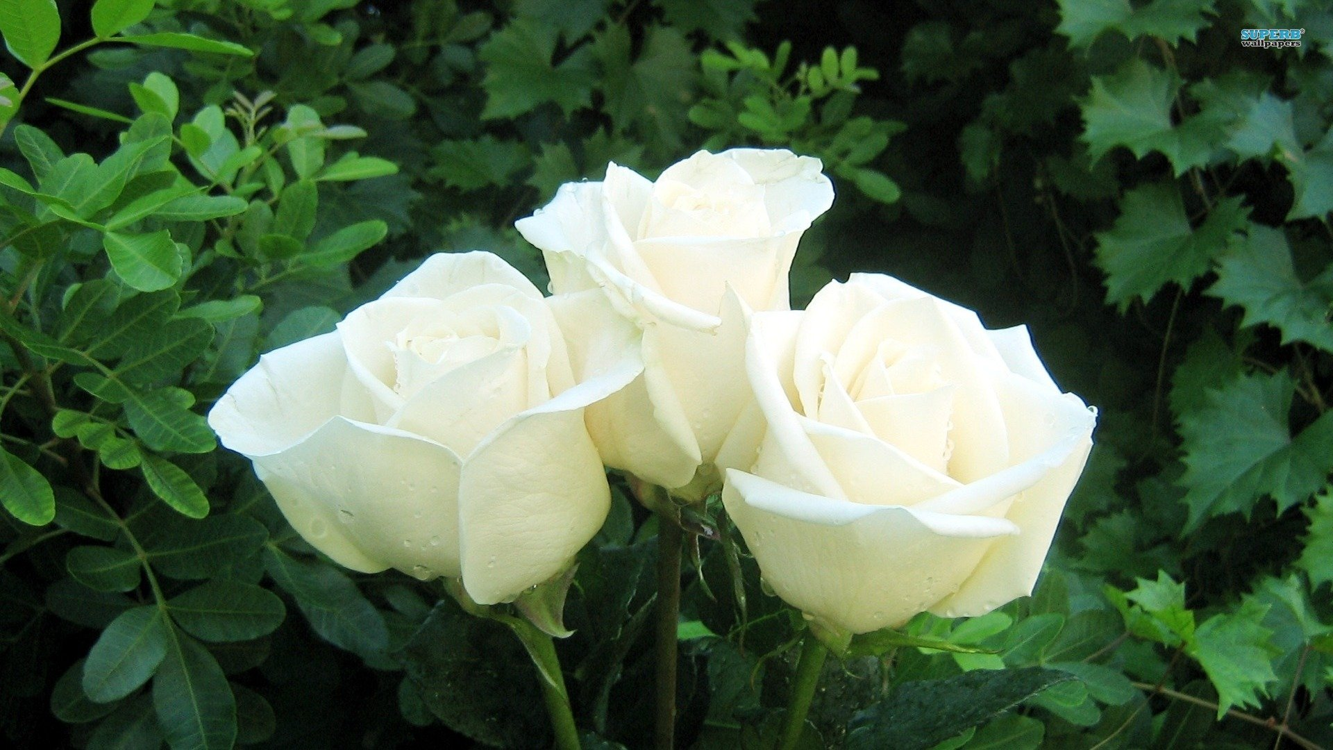 Fine White Rose Flowers Images Photos - Wedding and flowers ...
