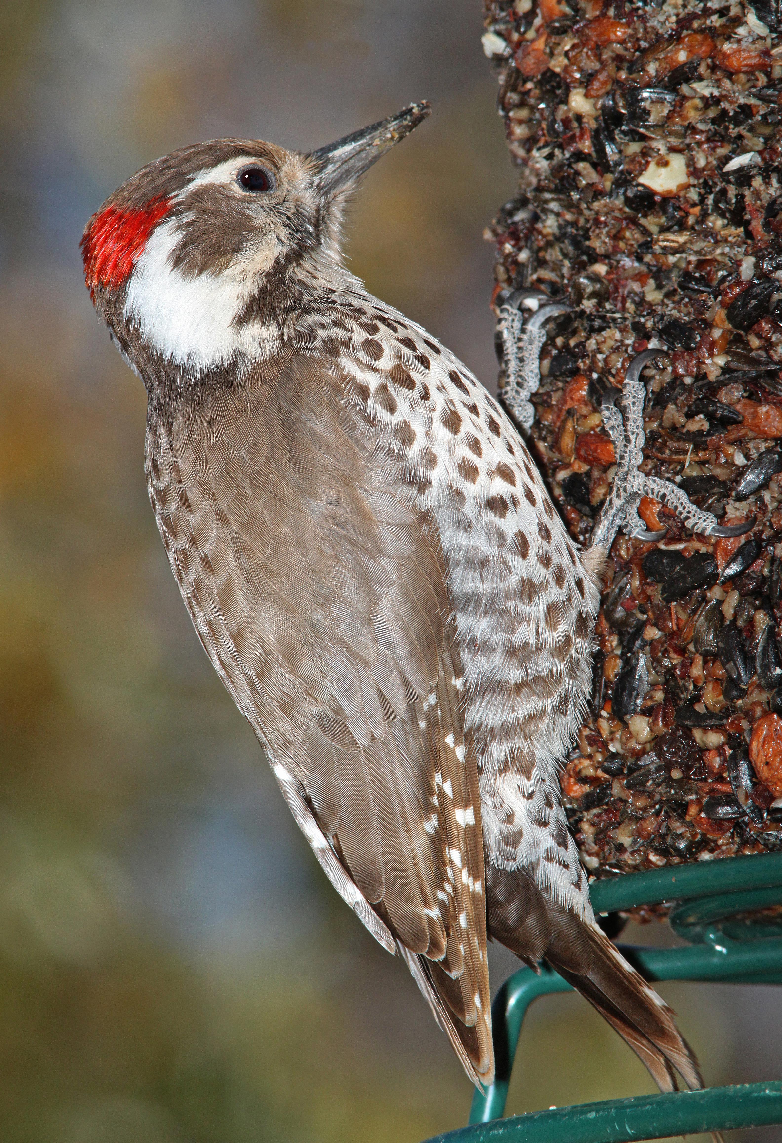 537 - arizona woodpecker (3-23-11) sierra vista, cochise co, az (1) photo
