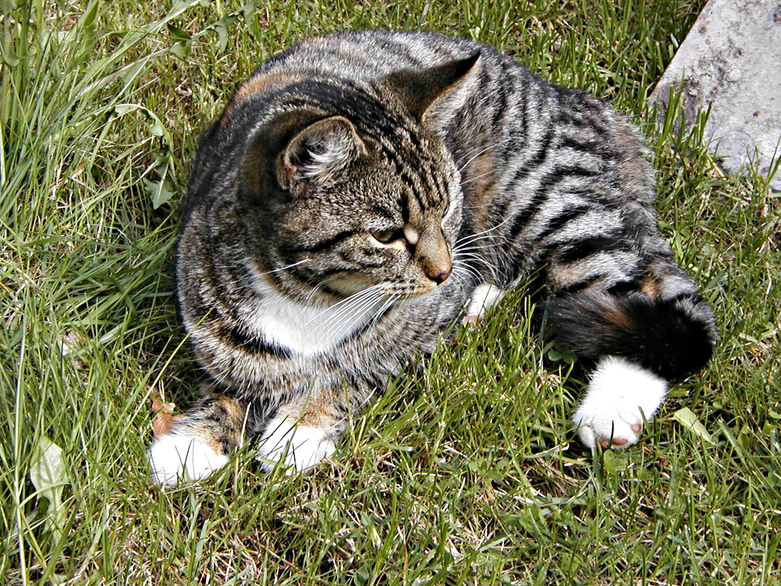 A cat lying in grass photo
