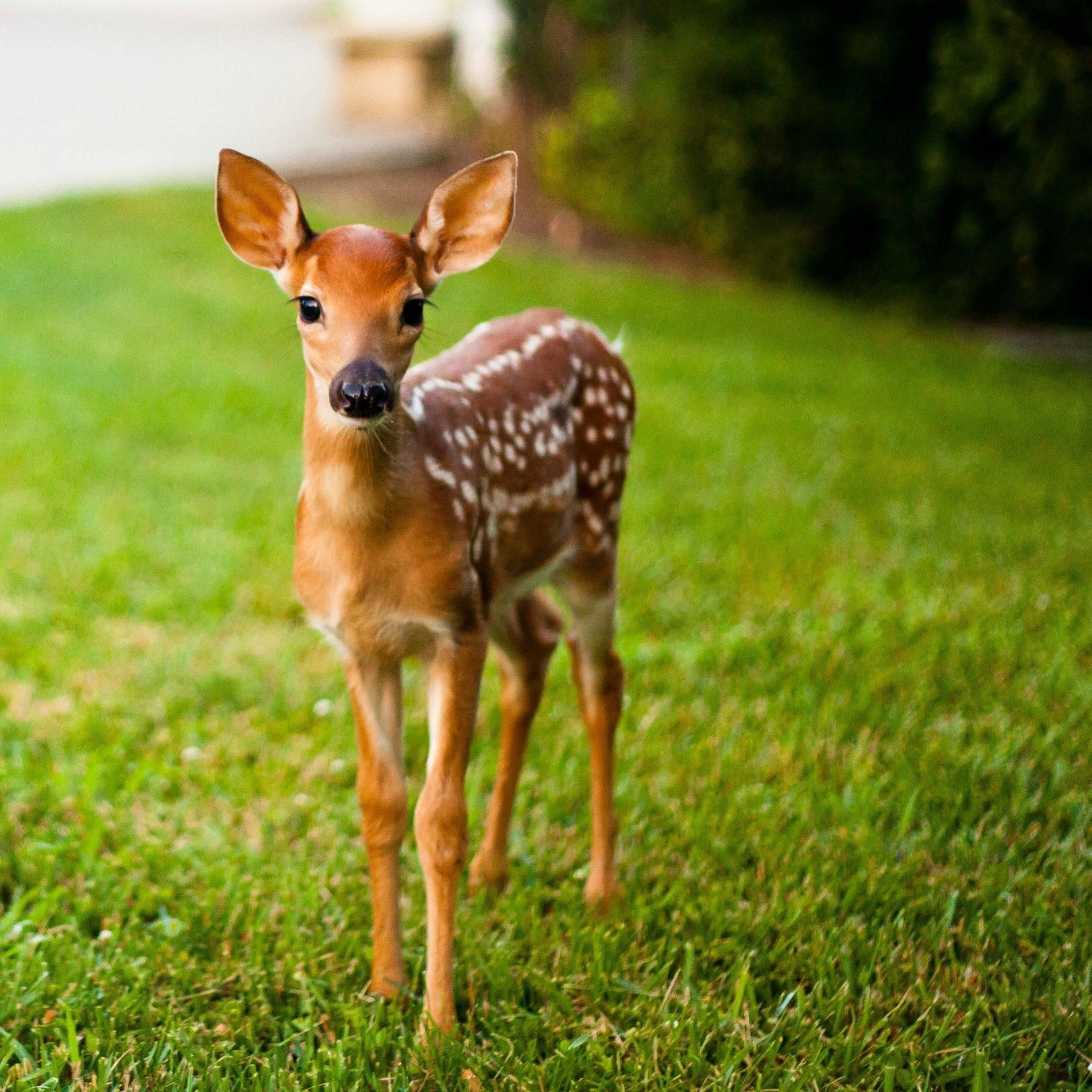 A deer faw … | baby deer | Pinterest | Animal, Baby animals and ...