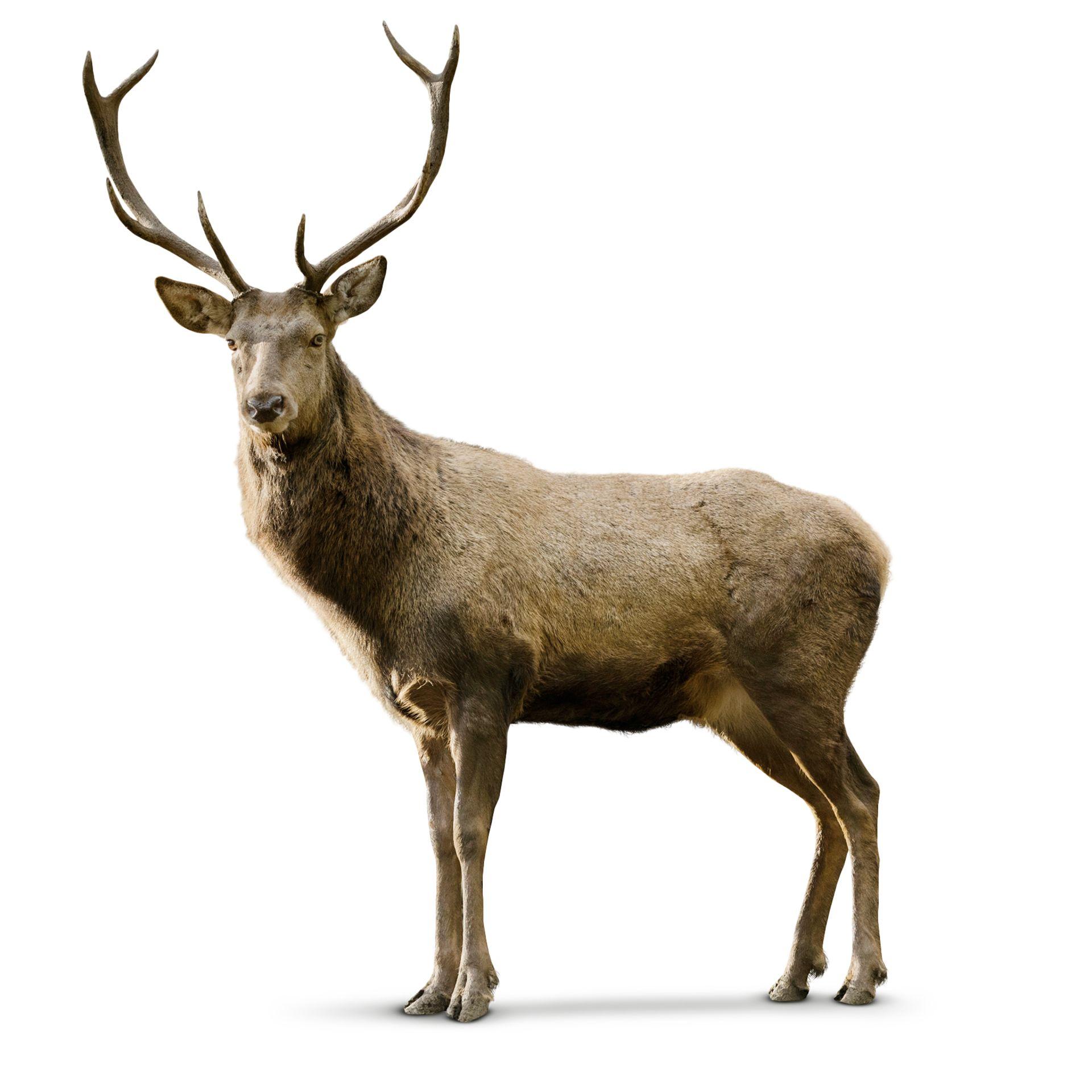 Deer photo