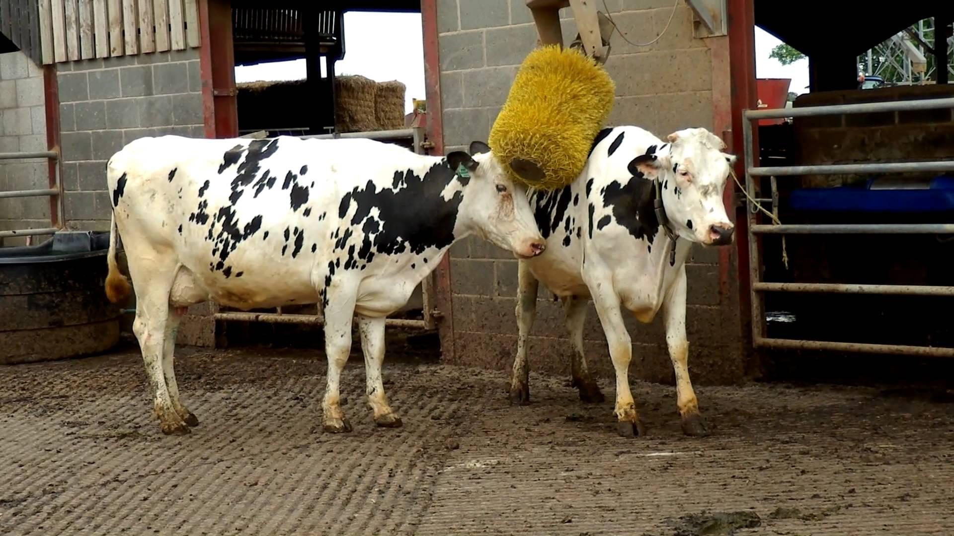 Friesian Dairy Cows - YouTube