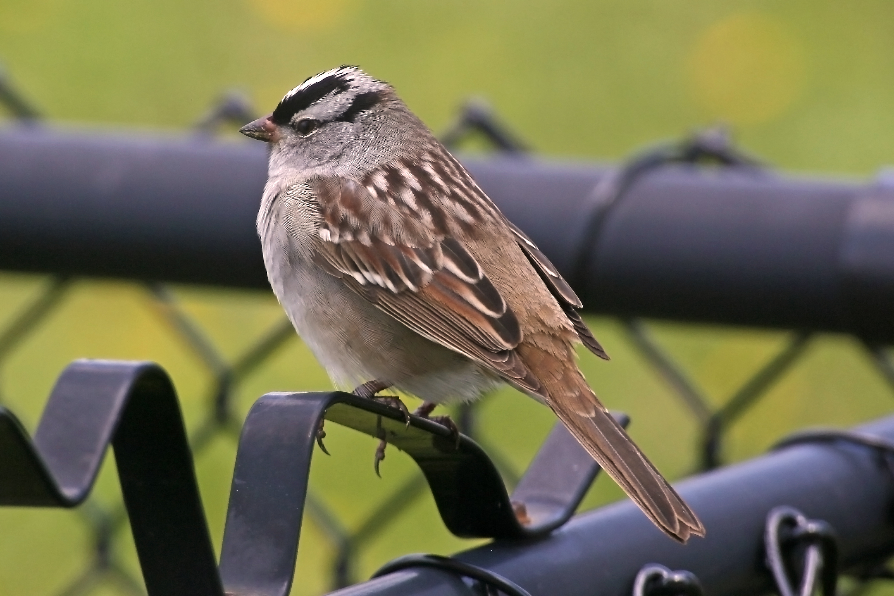 A little birdie landed on my fence, Animal, Bird, Feather, Fence, HQ Photo