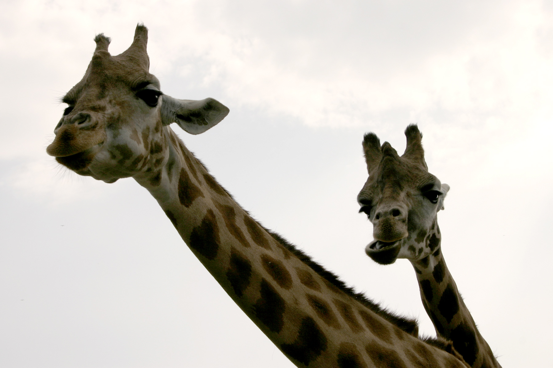 A pair of giraffes photo