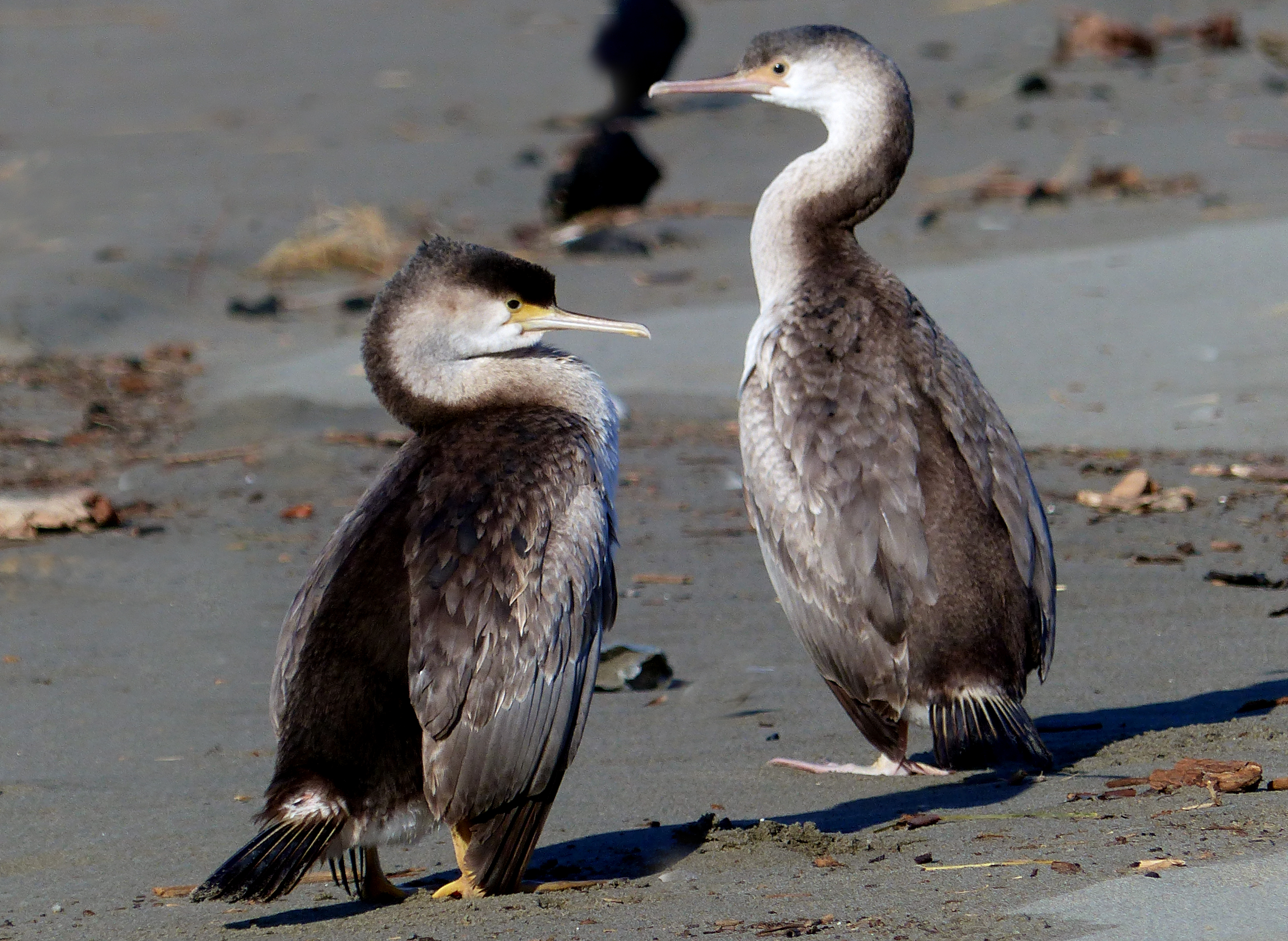 A pair of pied shags.nz photo