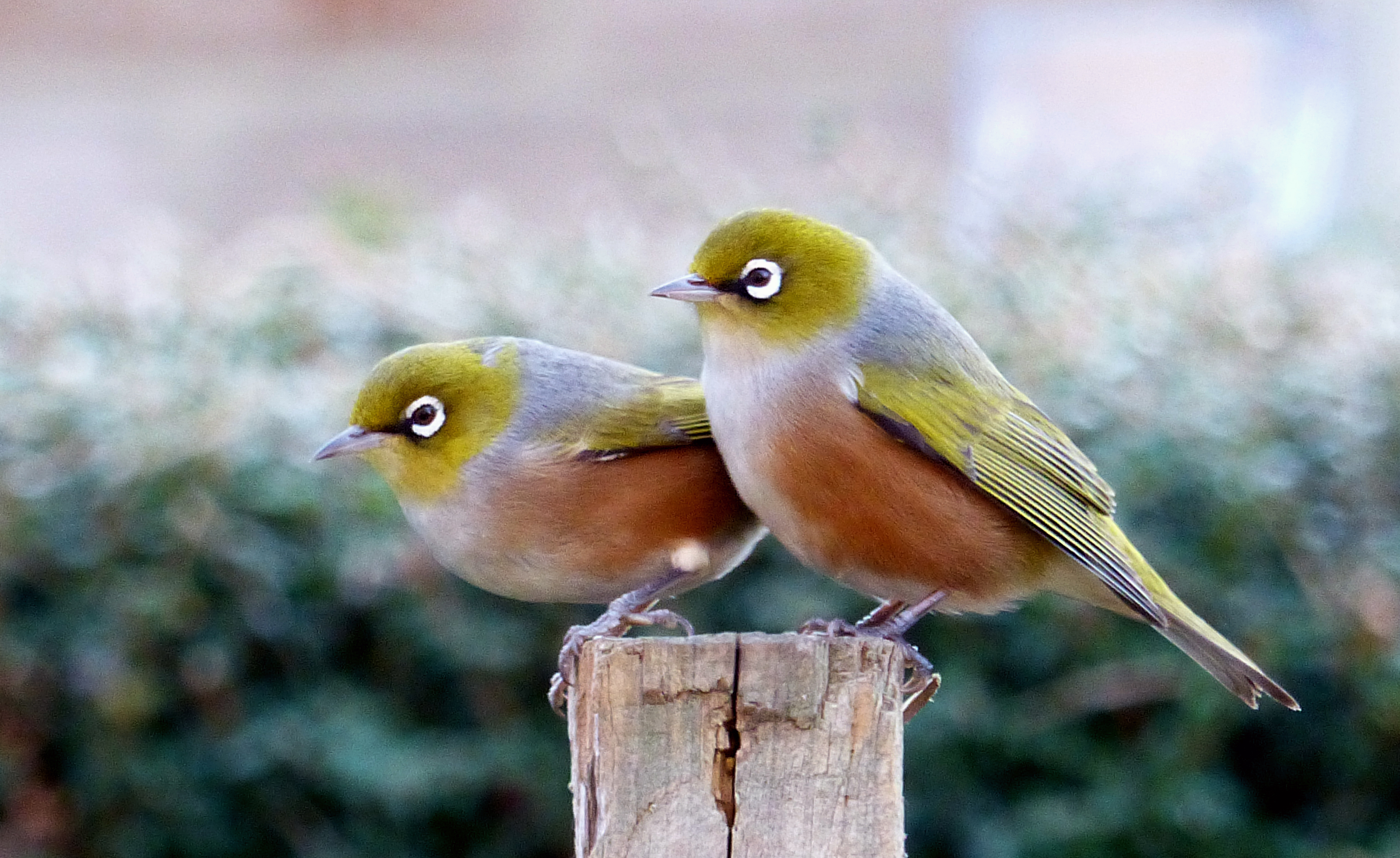 A pair of waxeyes. photo