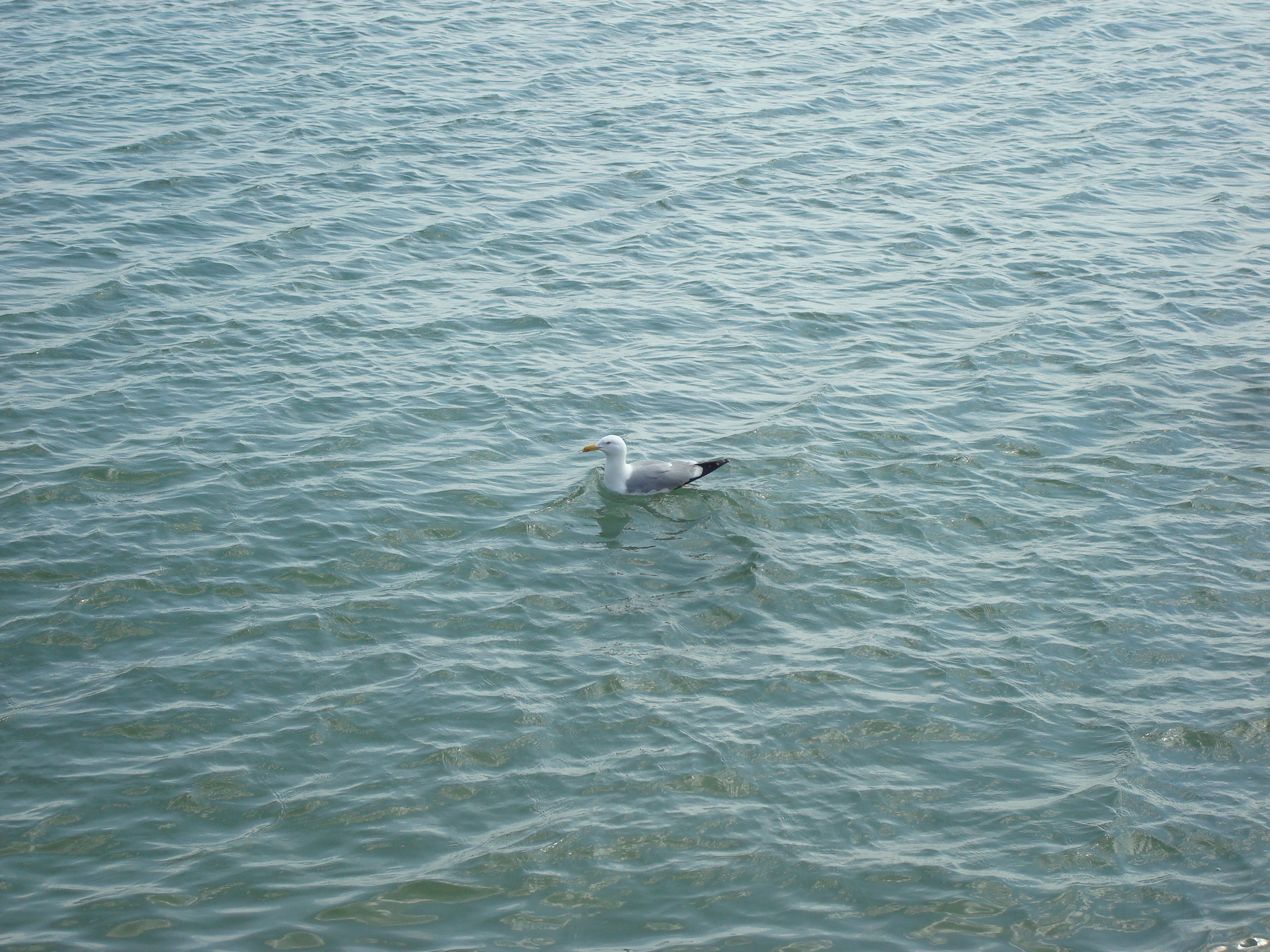 A seagull in the sea photo