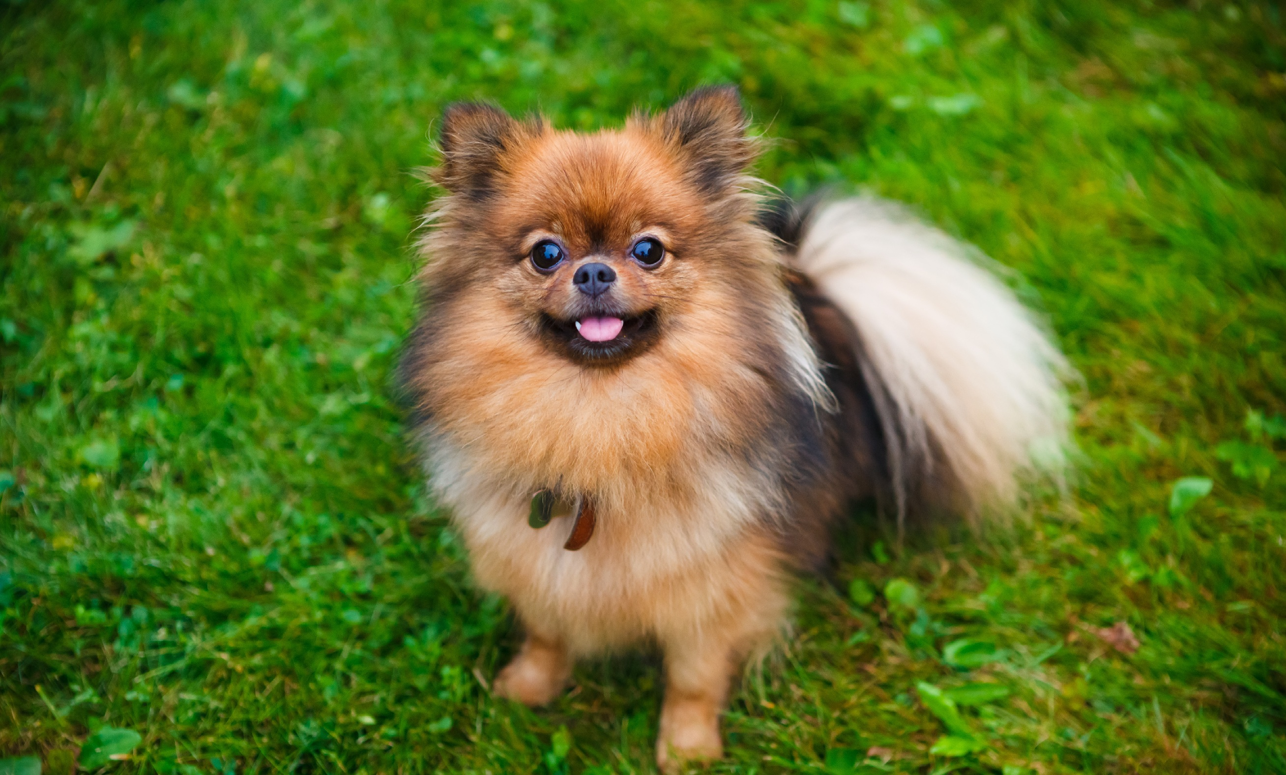 The Benefits of Owning a Small Dog - NuVet Labs Blog