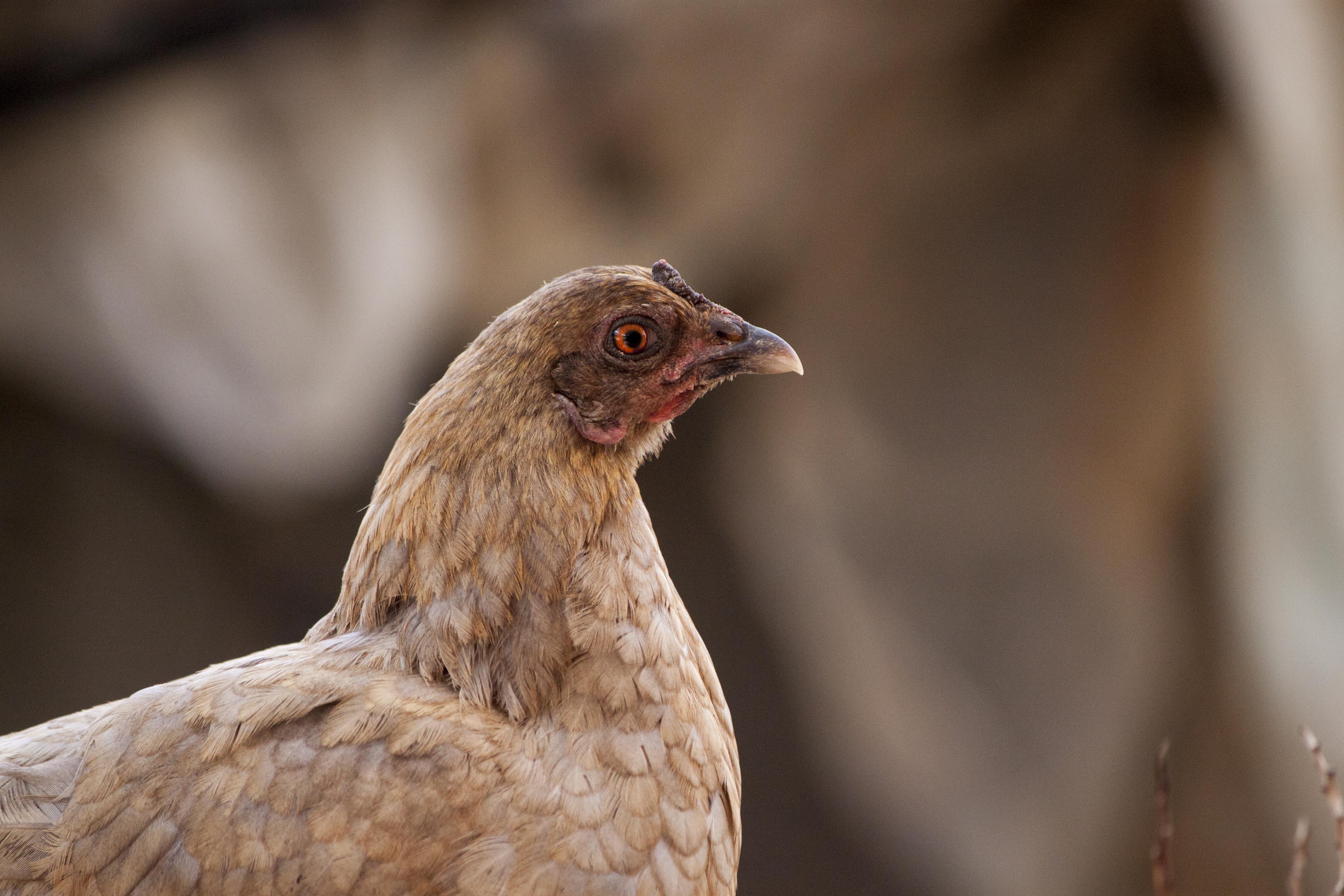 A suspicious looking chicken photo