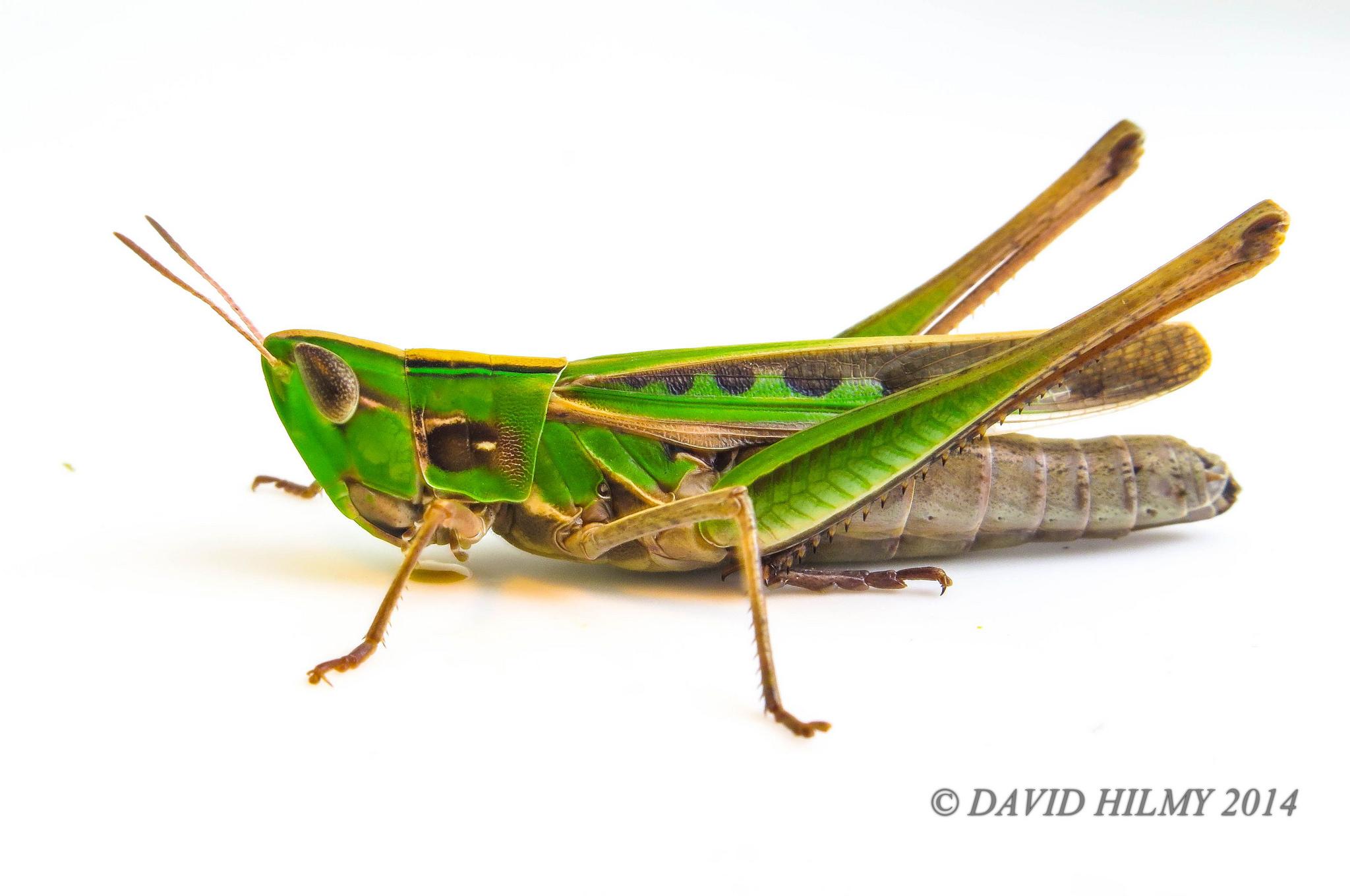 Admirable grasshopper photo