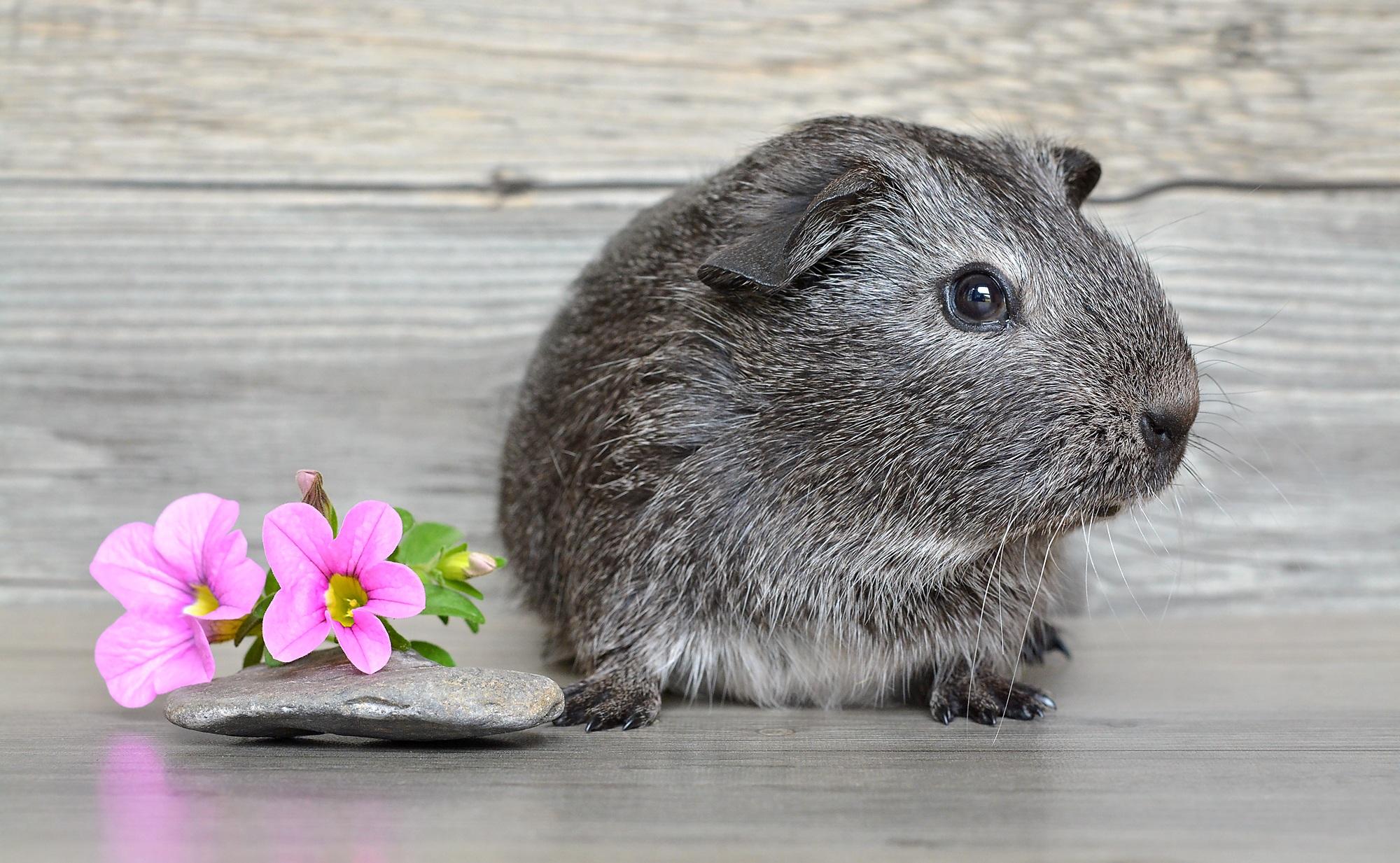 Adorable, Animal, Cute, Guinea, Little, HQ Photo