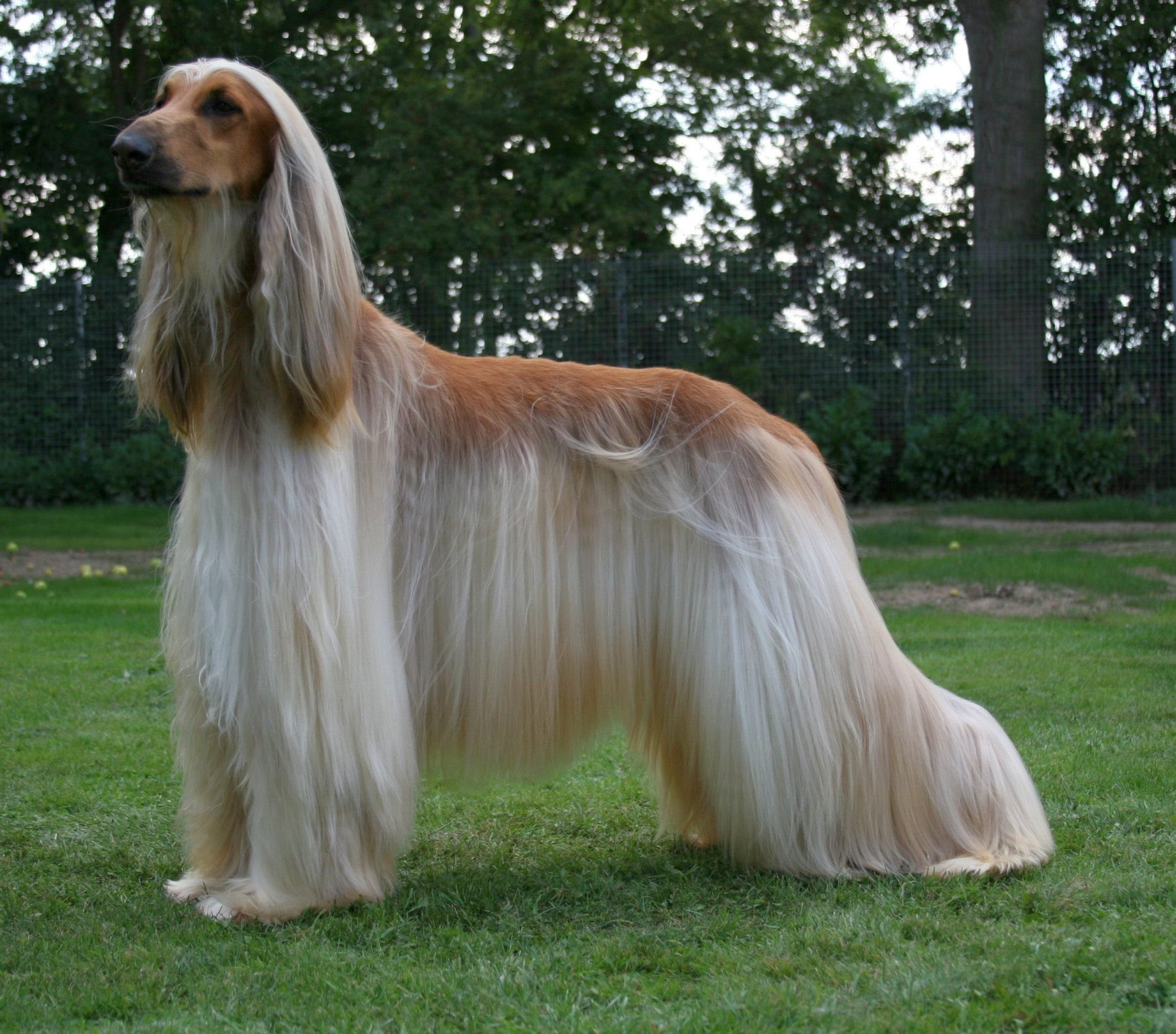 AFGHAN HOUND - appearance, fur, playing, barking, body - YouTube