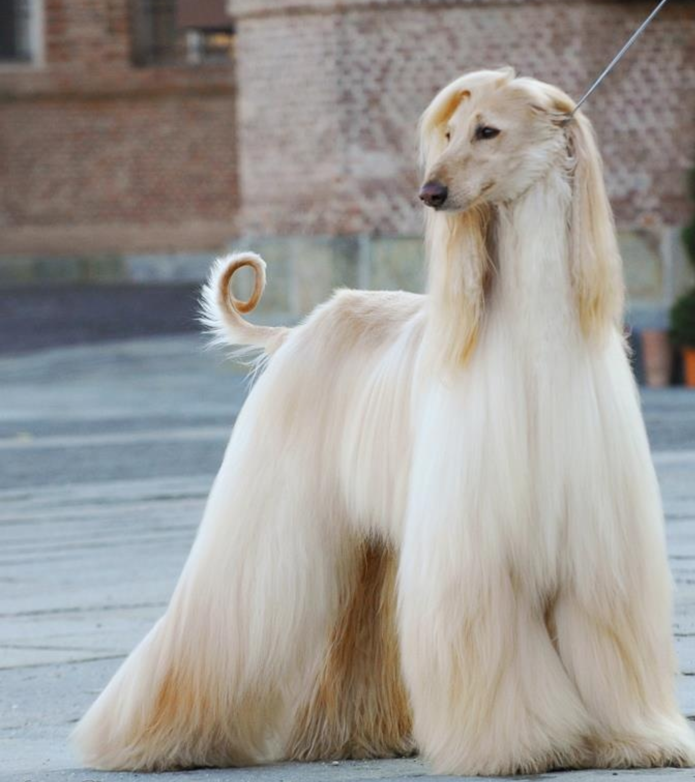 Nice looking Afghan hound. : aww