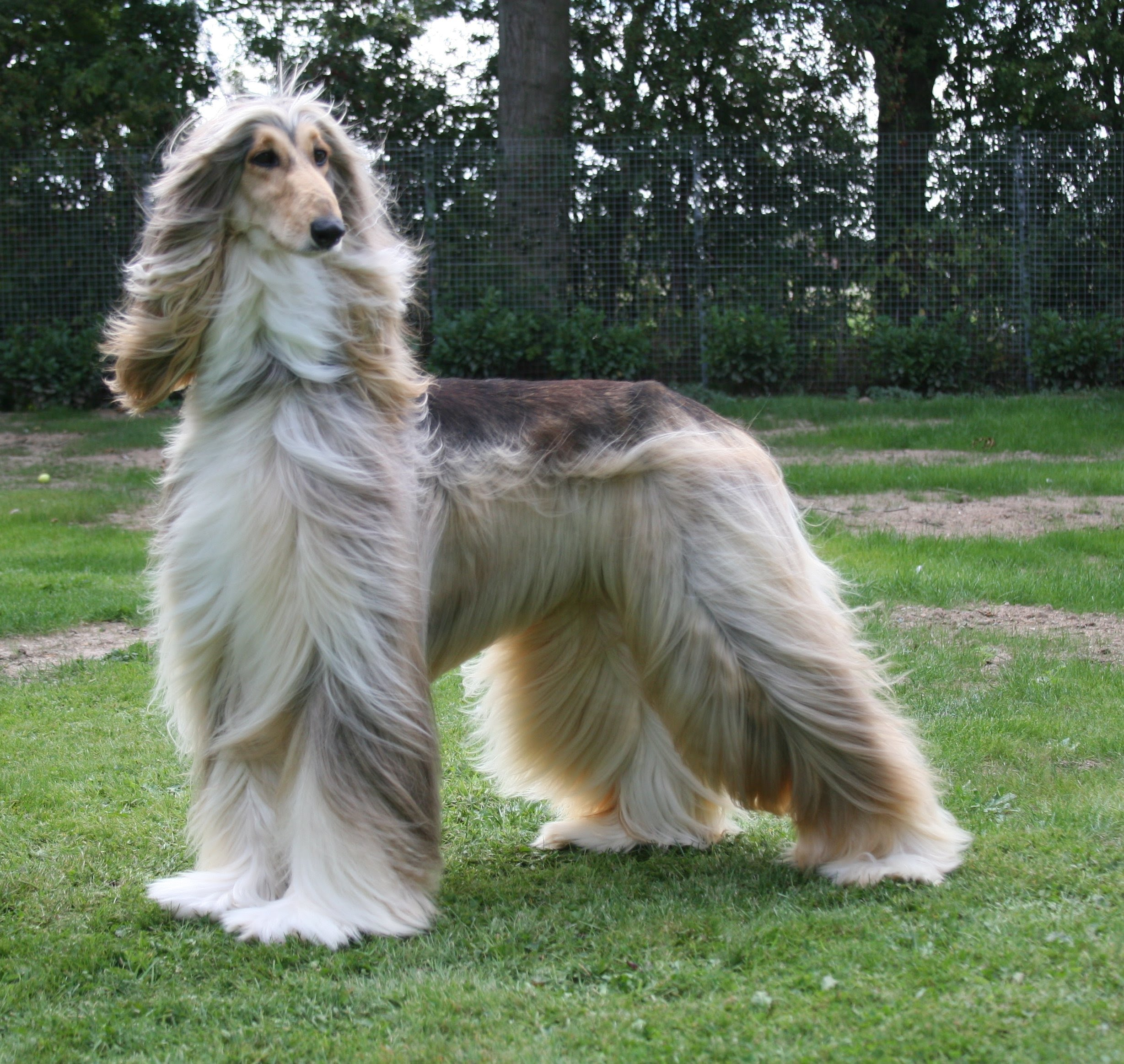 Afghan Hound - Beauty Lovely - YouTube