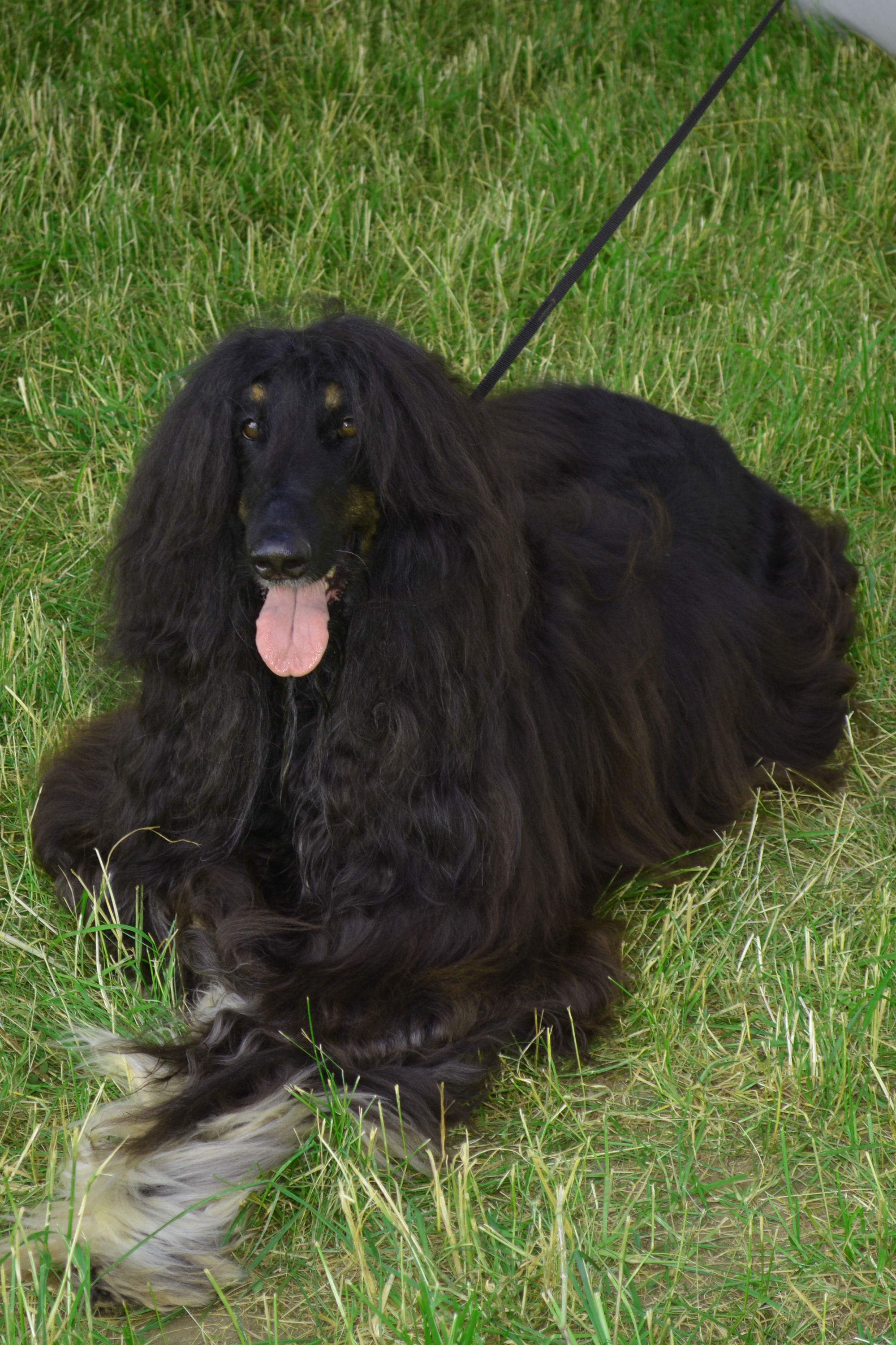 Afghan hound, Adorable, Pedigreed, Large, Looking, HQ Photo