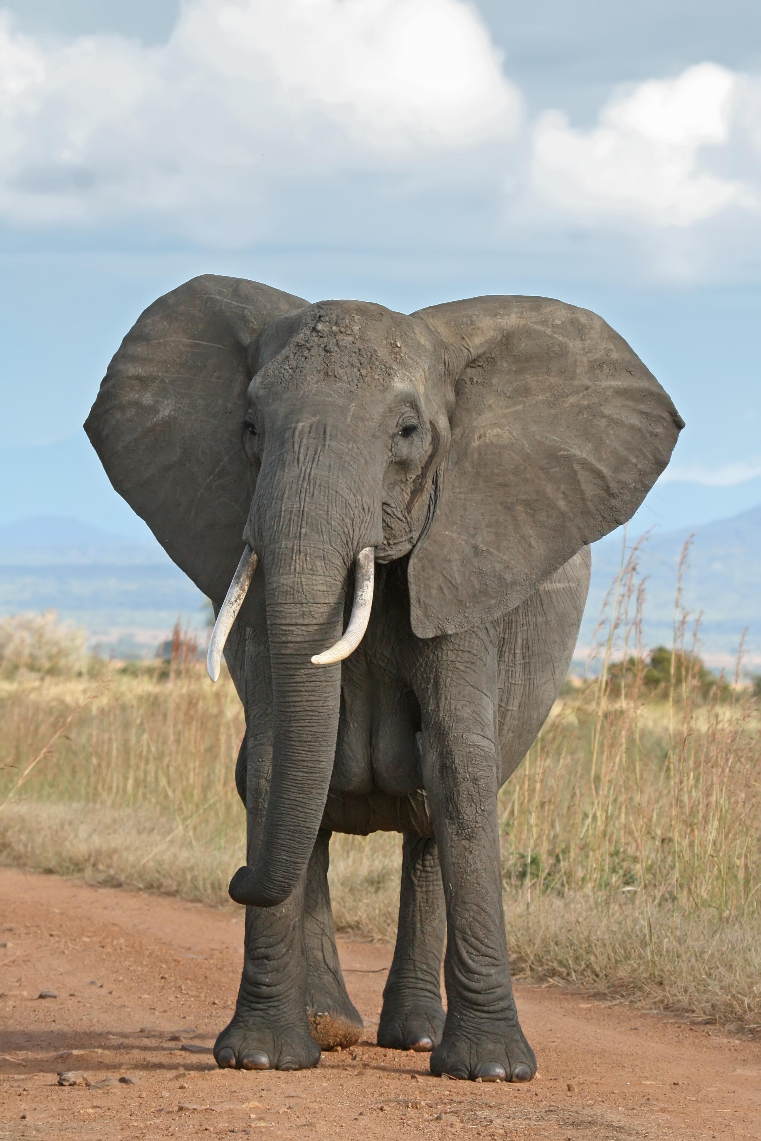 African elephant - Wikipedia