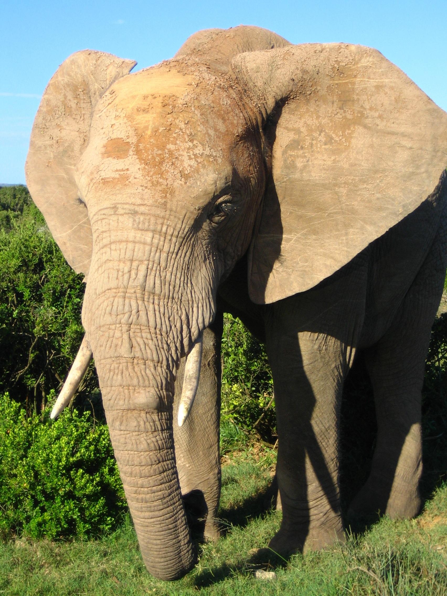 Free Photo African Elephant Africa Animal Elephant