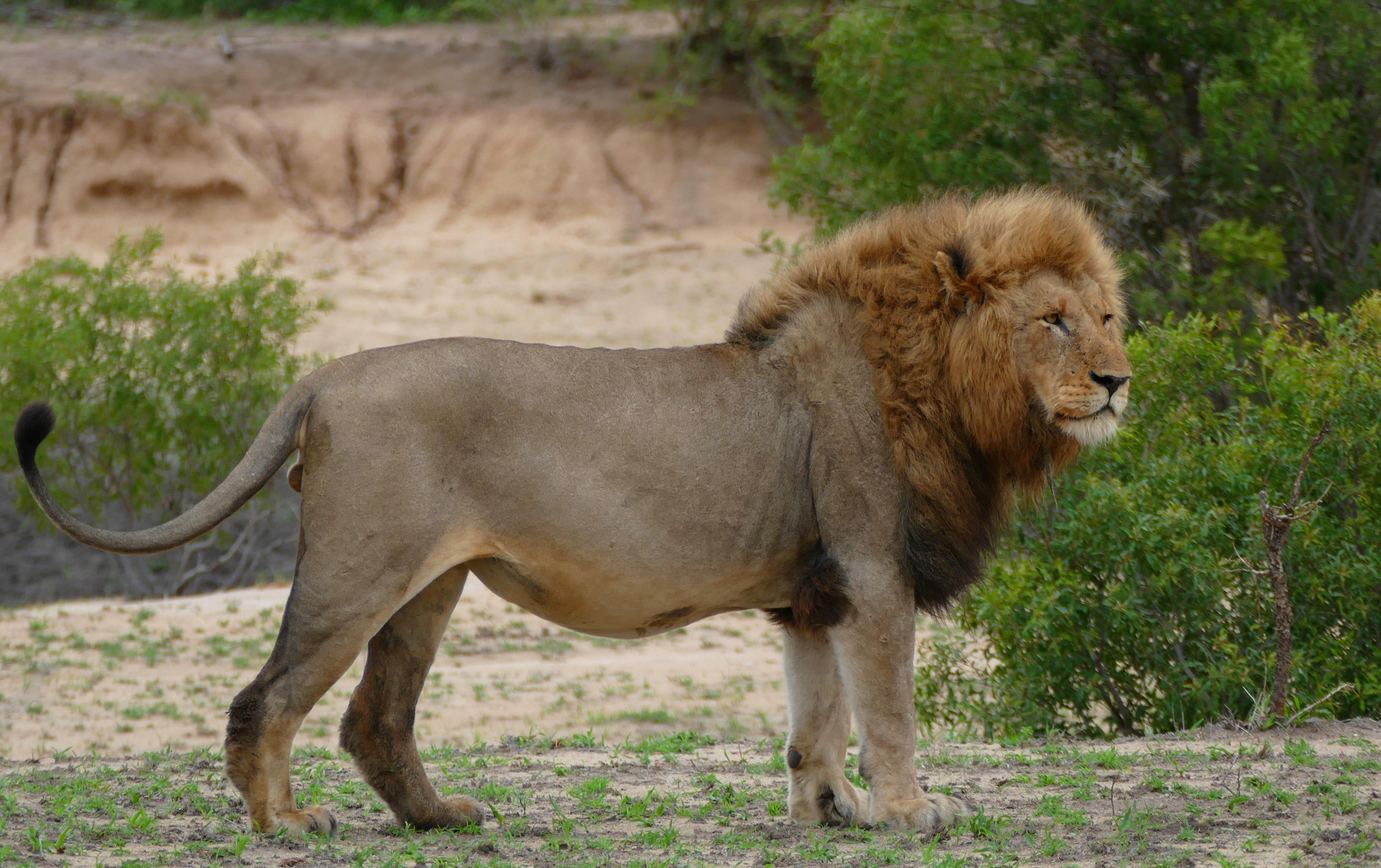 Lion - Wikipedia