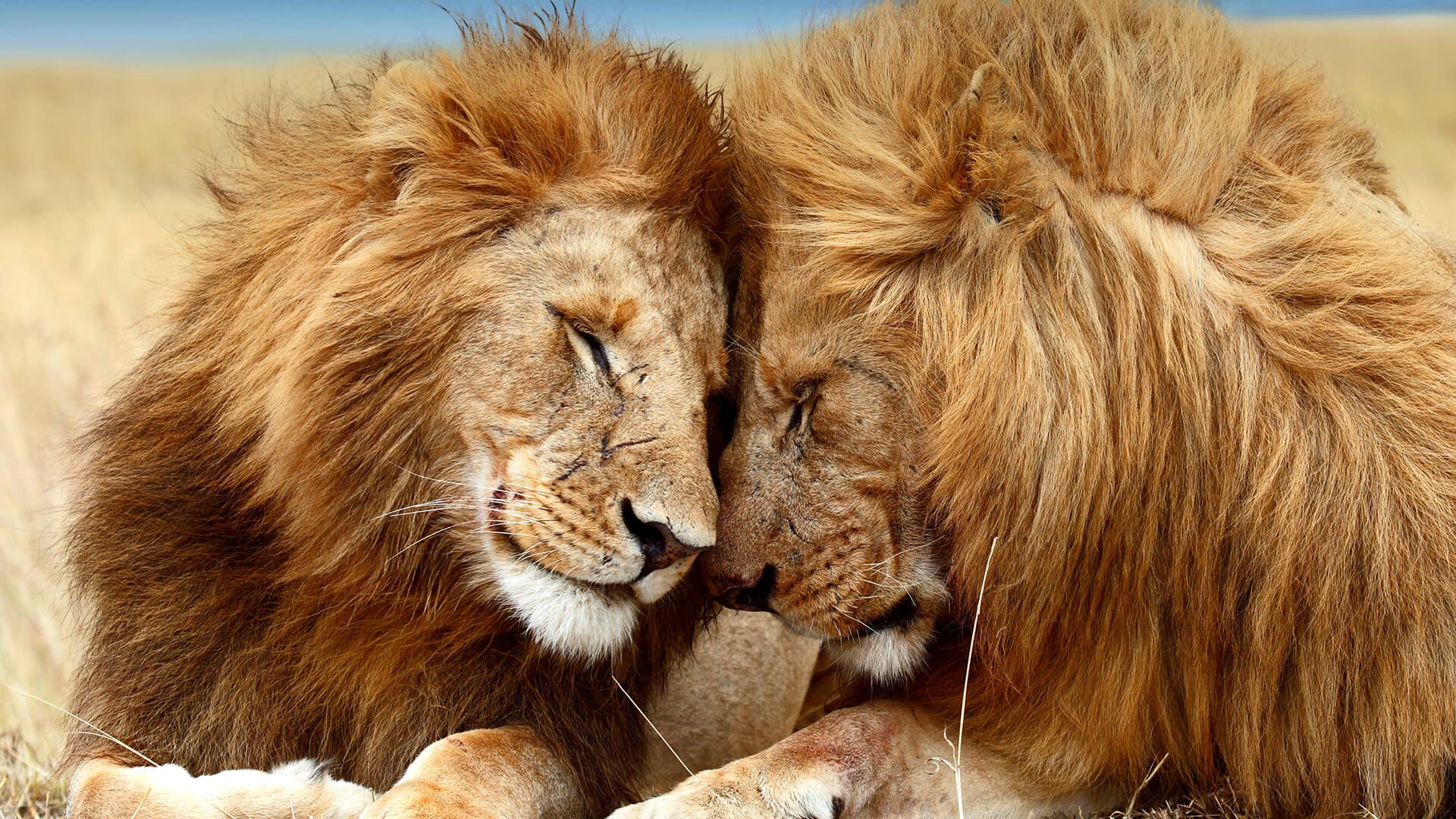 Lion   San Diego Zoo Animals & Plants