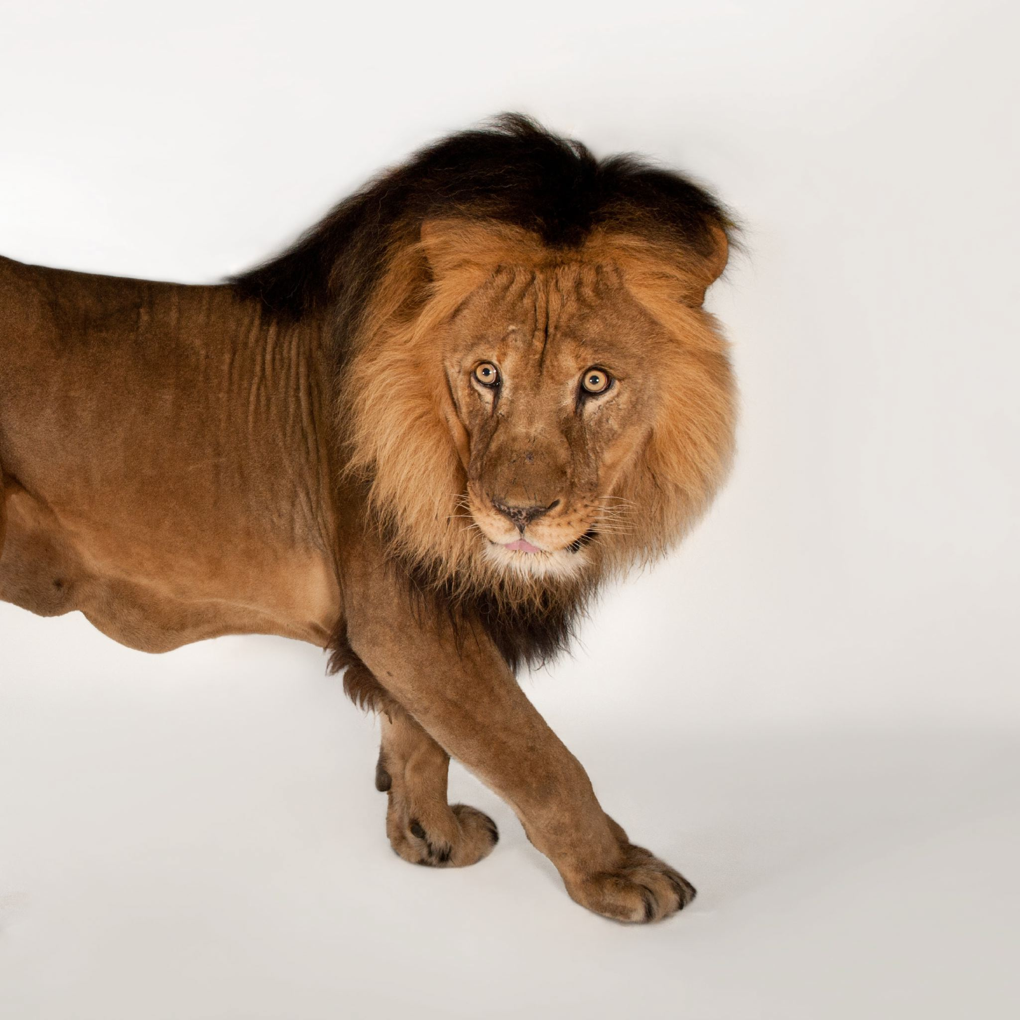 African Lion | National Geographic