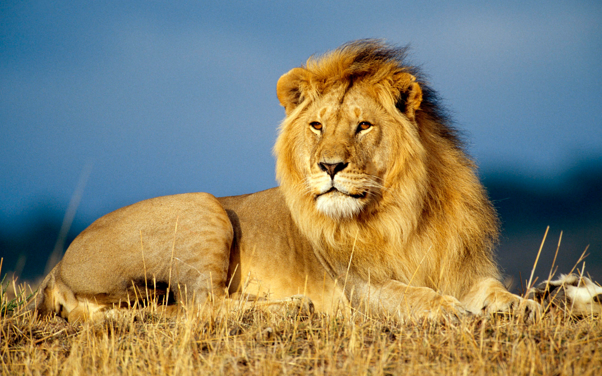 West African Lion Teetering Towards Extinction - StreamAfrica