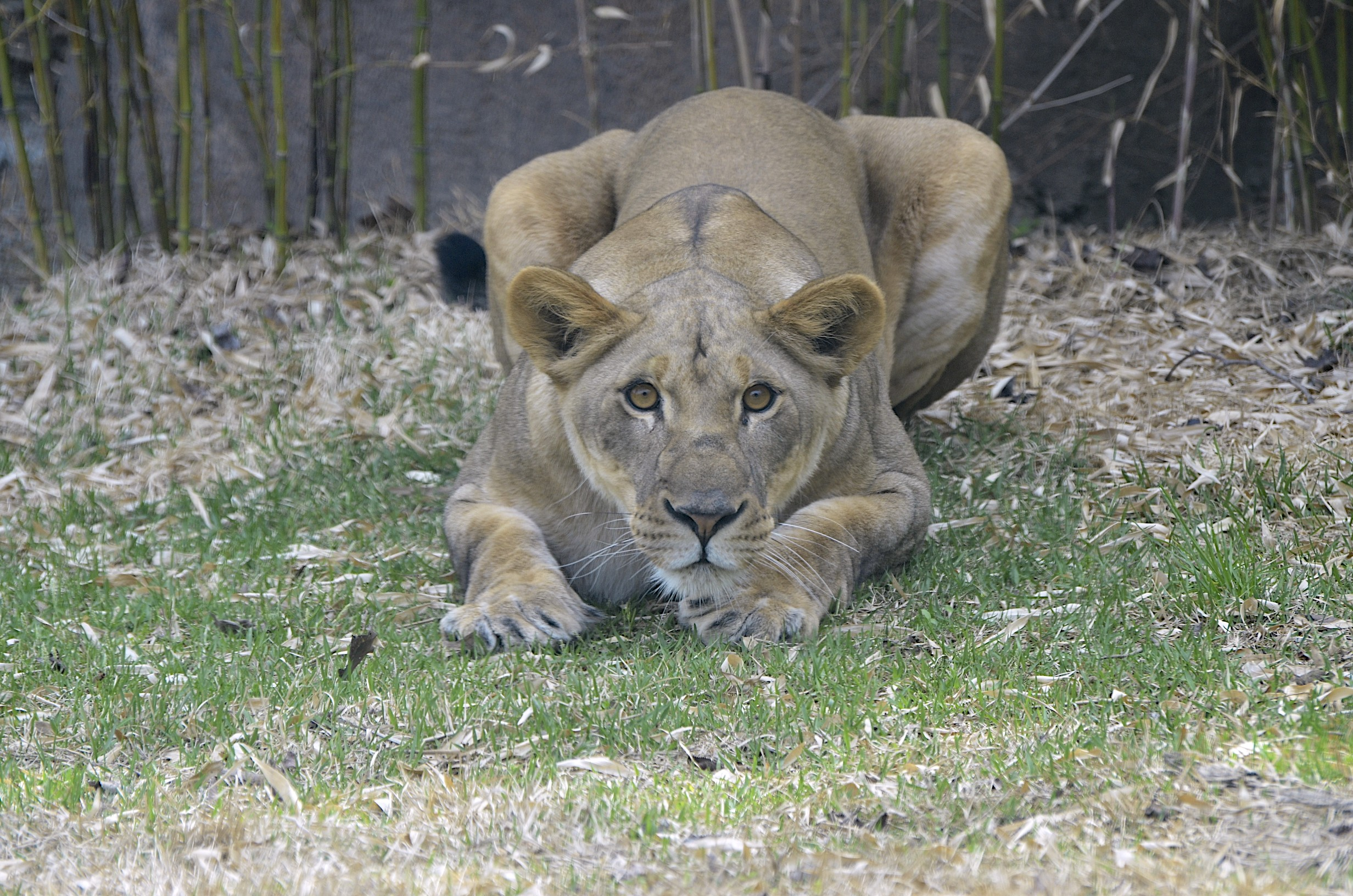 Lioness in africa photo