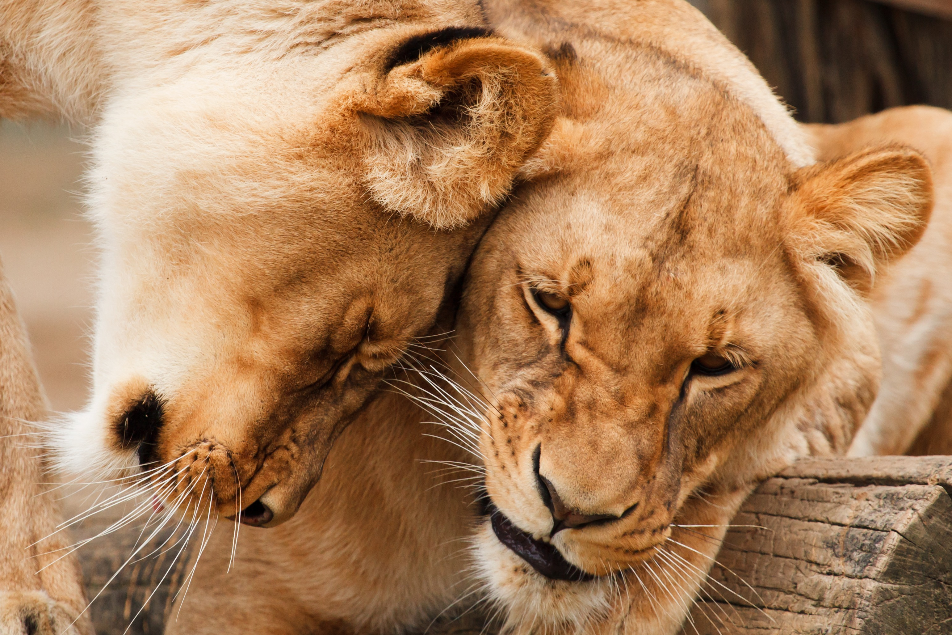 African lions photo