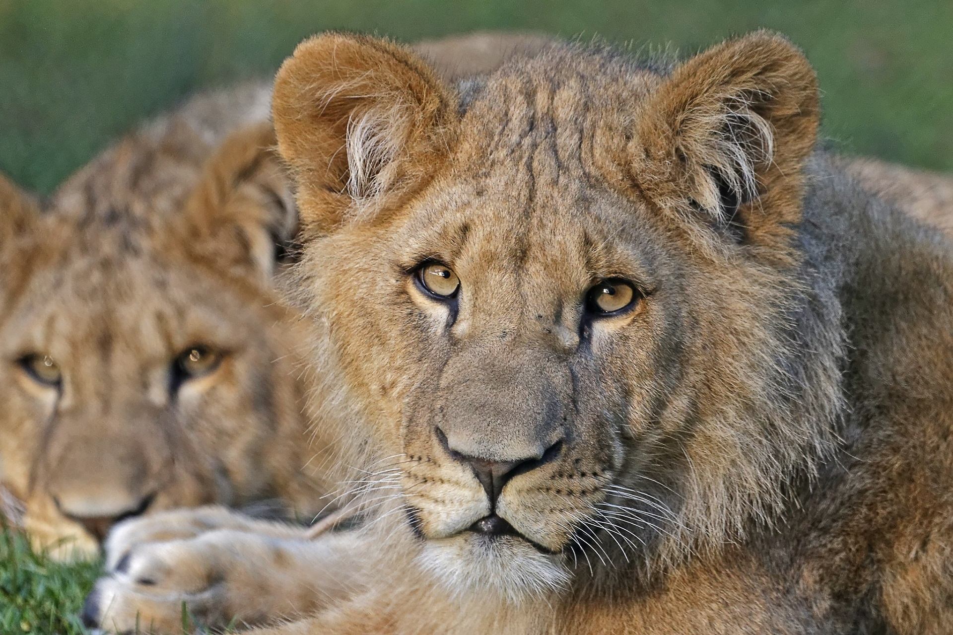 African Lions, African, Animal, Cat, Fierce, HQ Photo