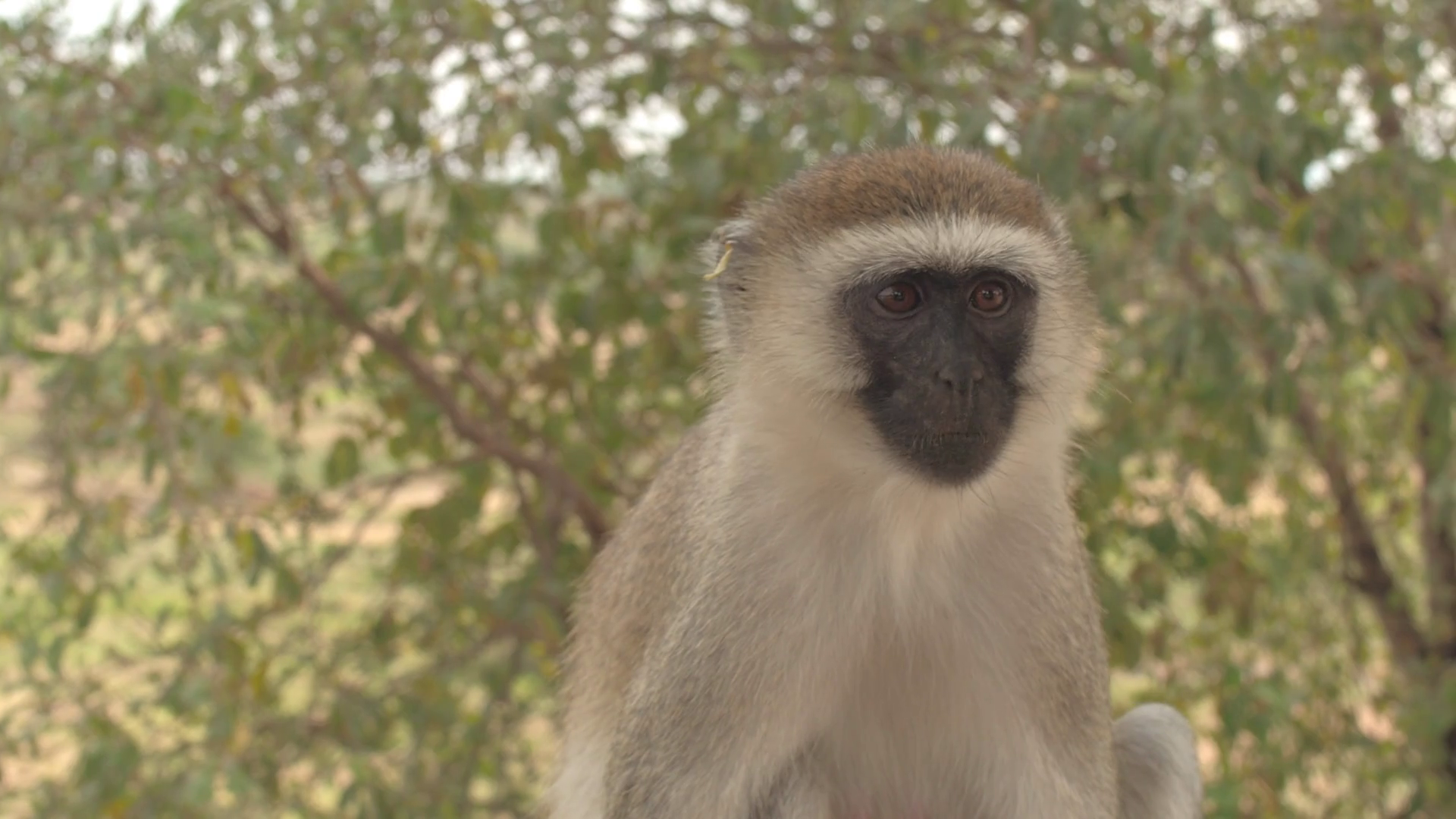closer view of vervet monkey looking for food. Stock Video Footage ...