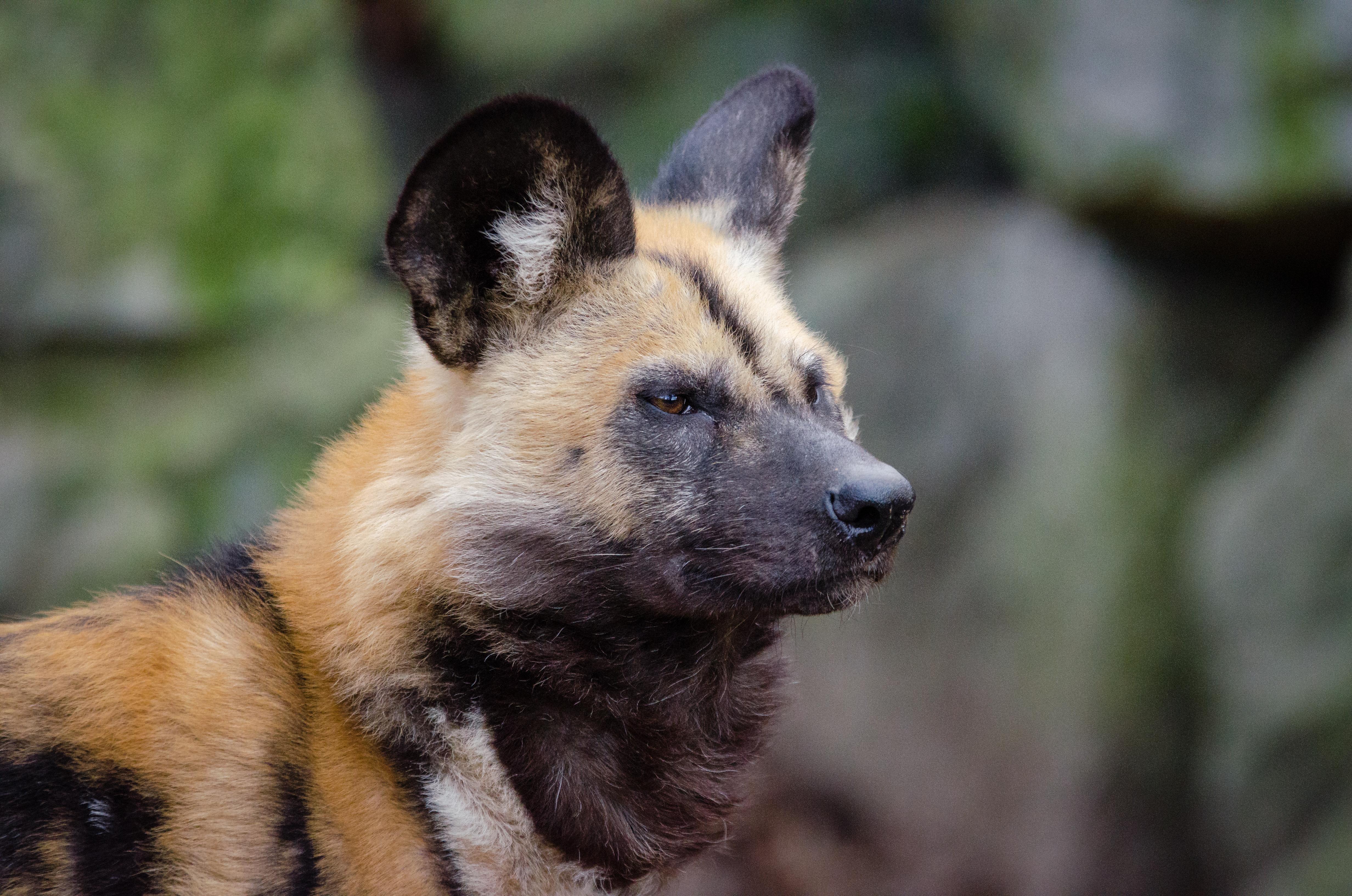 African wild dog, Painted, Pelz, Pelzig, Ohren, HQ Photo