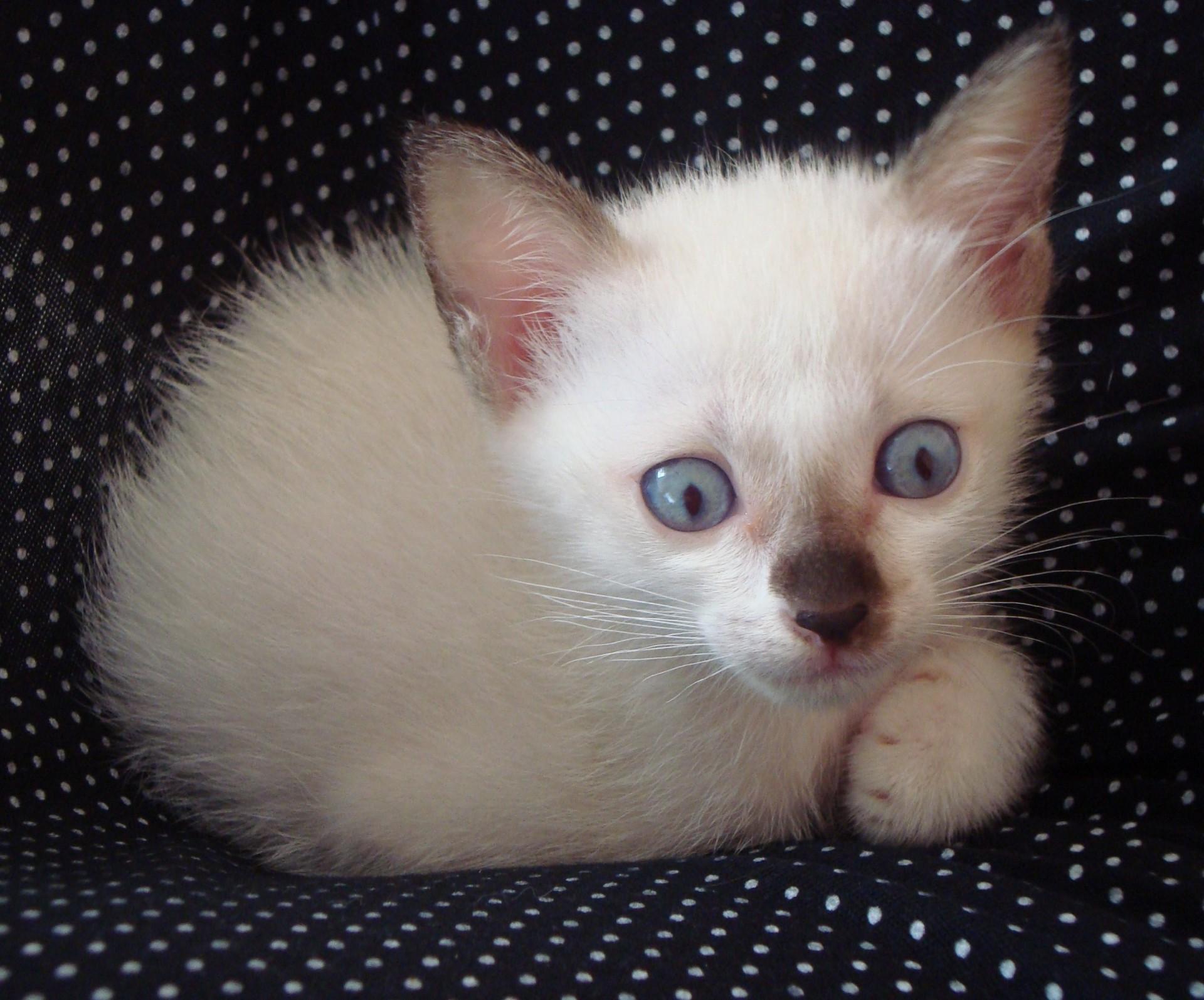 Albino Burmese Kitten Free Stock Photo - Public Domain Pictures